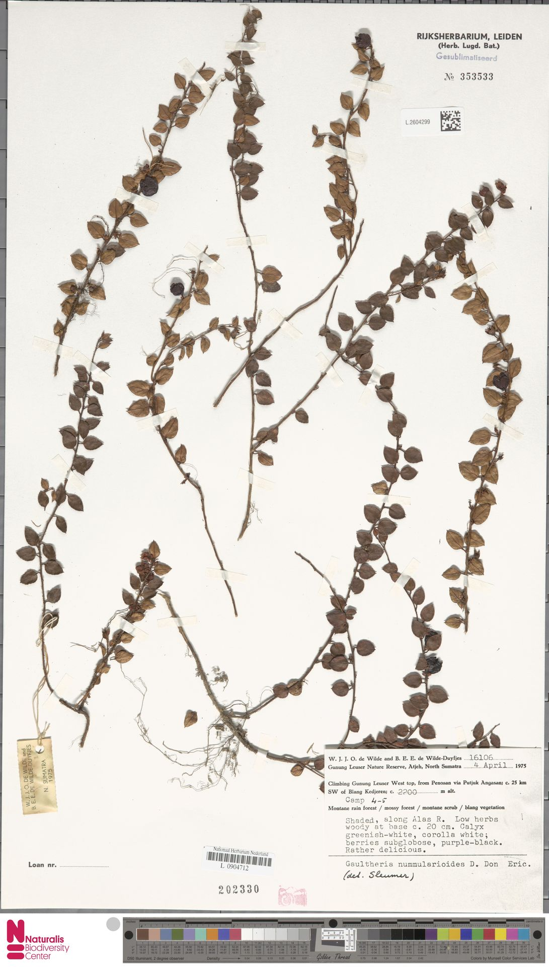 L.2604299 | Gaultheria nummularioides G.Don