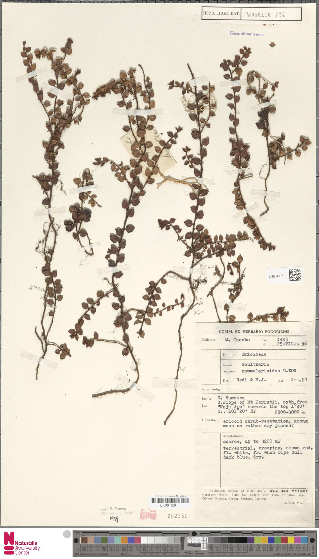 L.2604302 | Gaultheria nummularioides G.Don