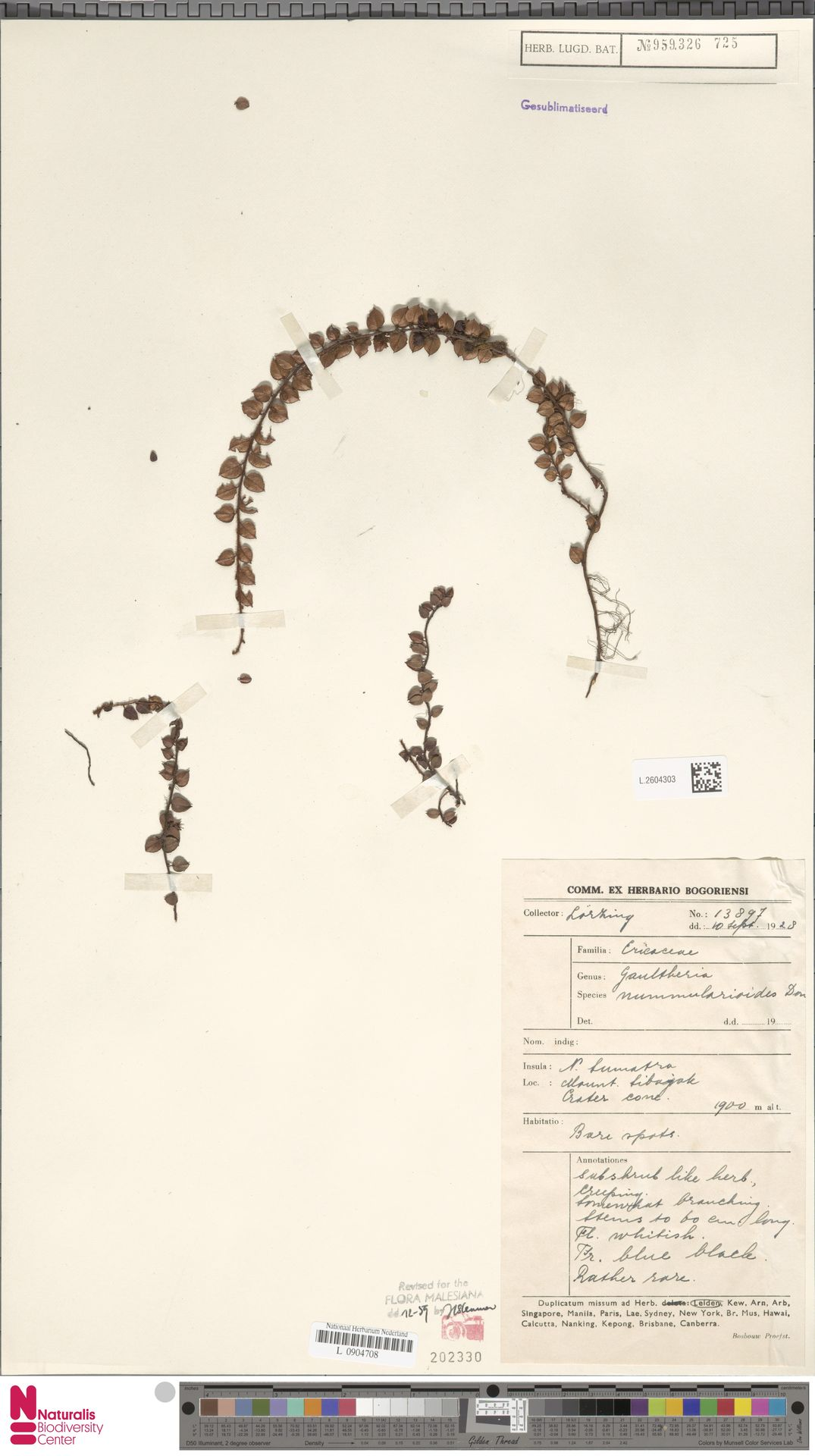 L.2604303 | Gaultheria nummularioides G.Don