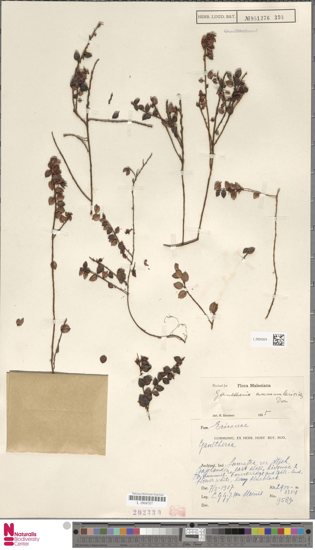 L.2604304 | Gaultheria nummularioides G.Don