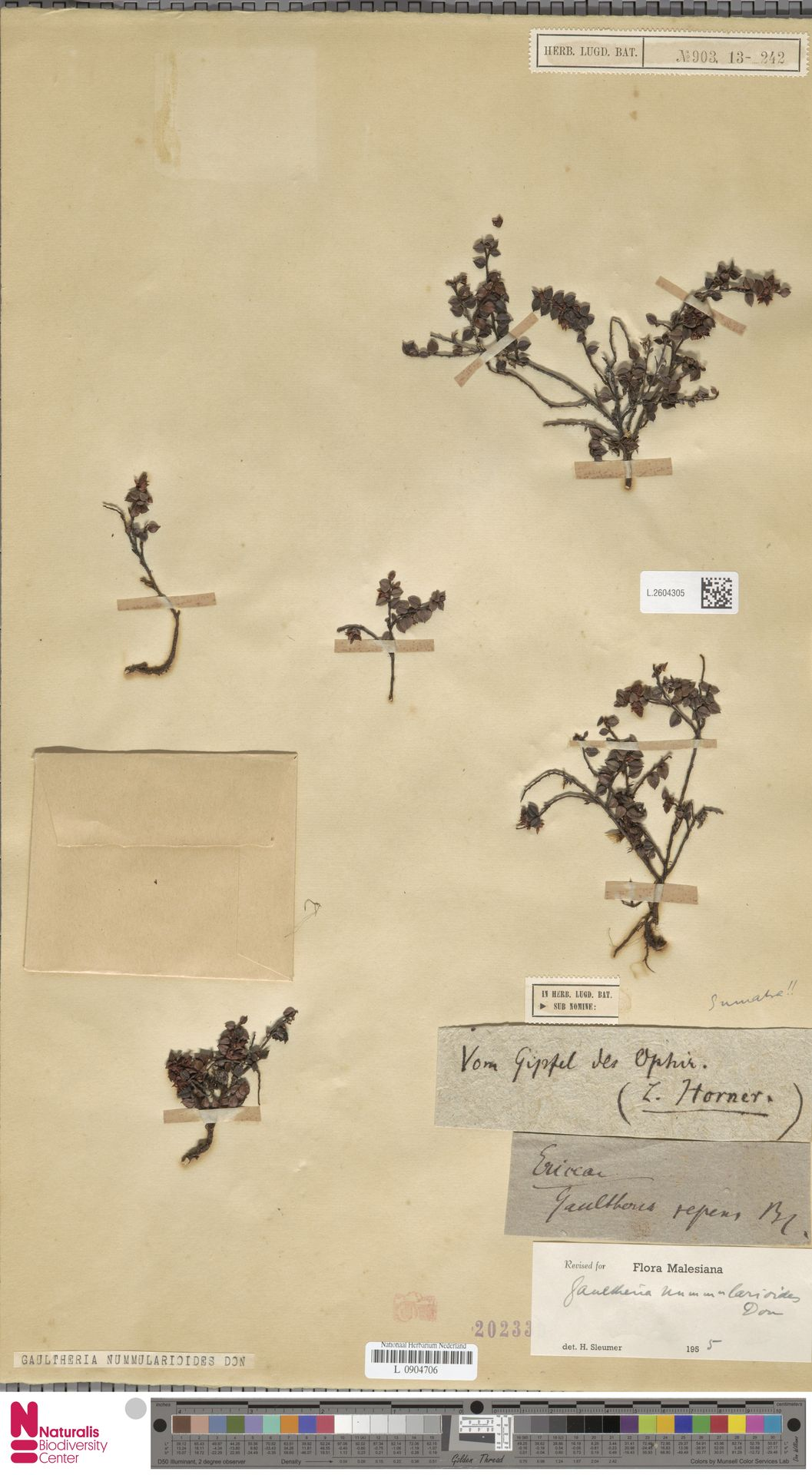 L.2604305 | Gaultheria nummularioides G.Don