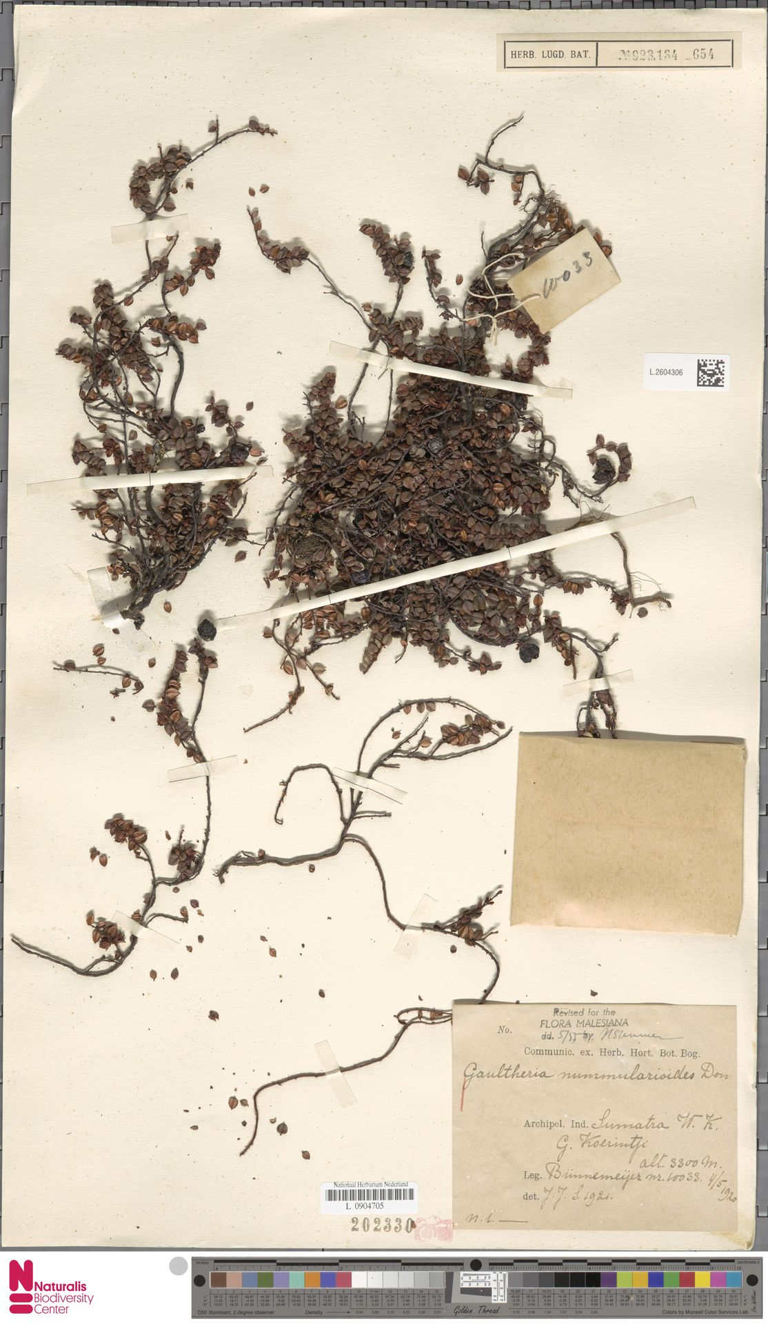 L.2604306   Gaultheria nummularioides G.Don