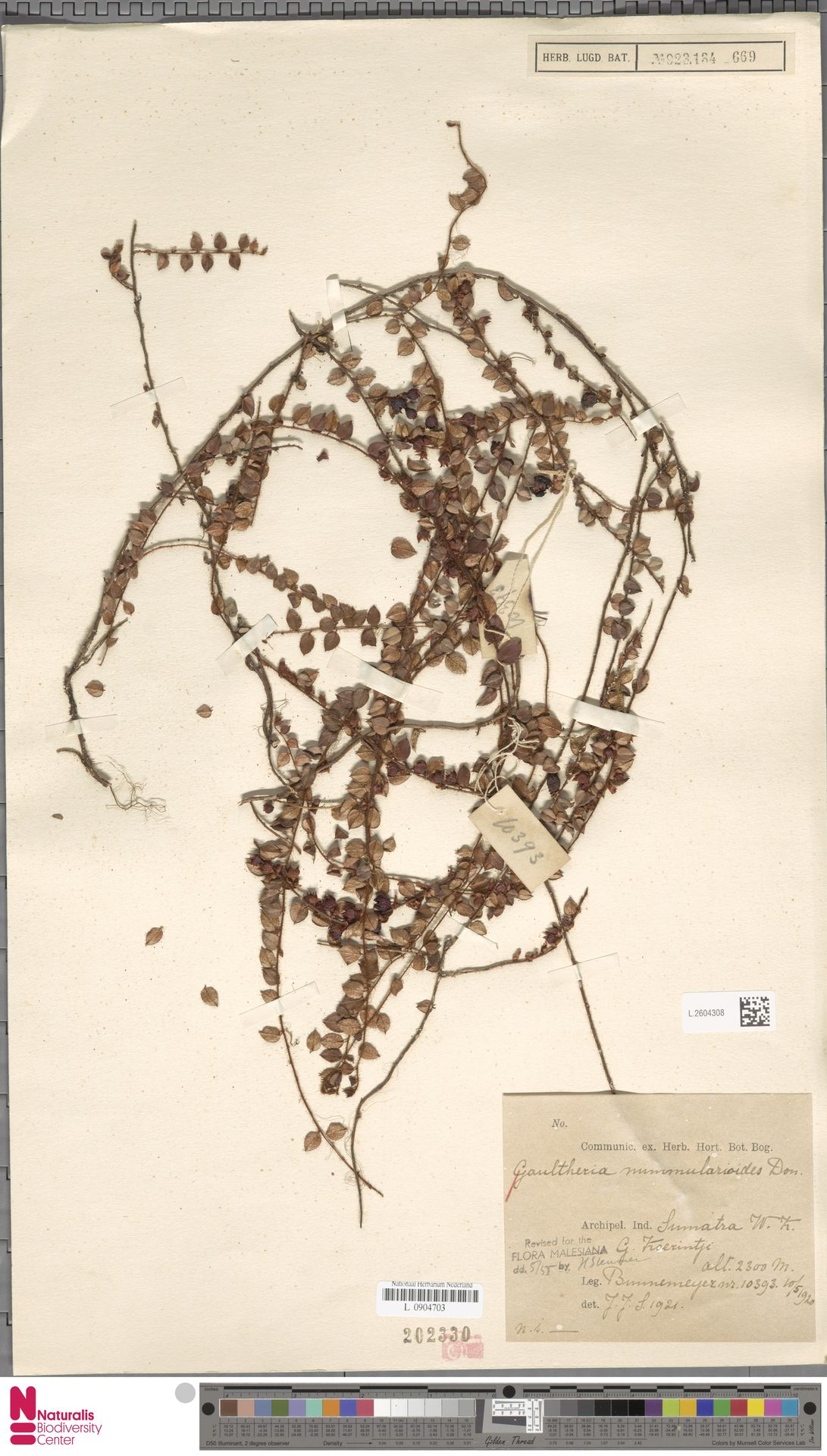 L.2604308 | Gaultheria nummularioides G.Don