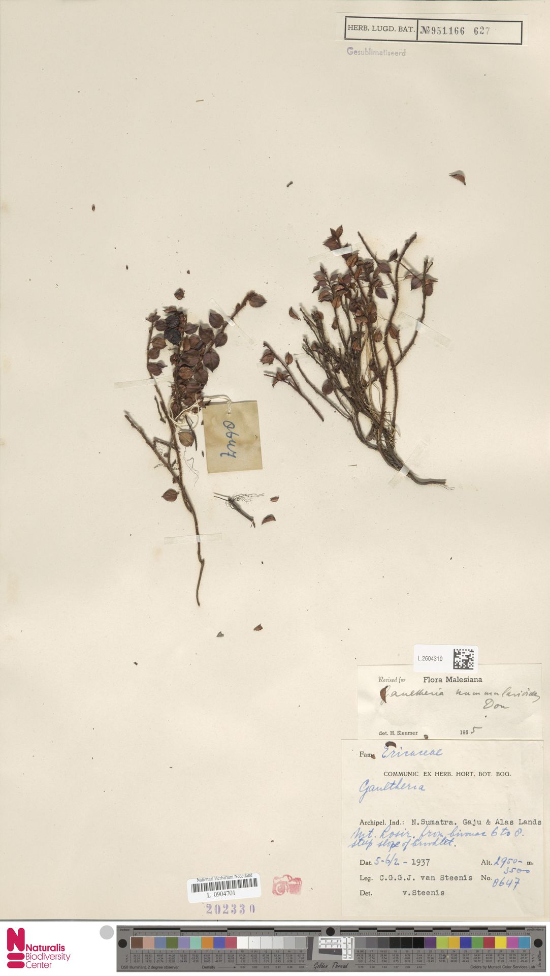 L.2604310 | Gaultheria nummularioides G.Don