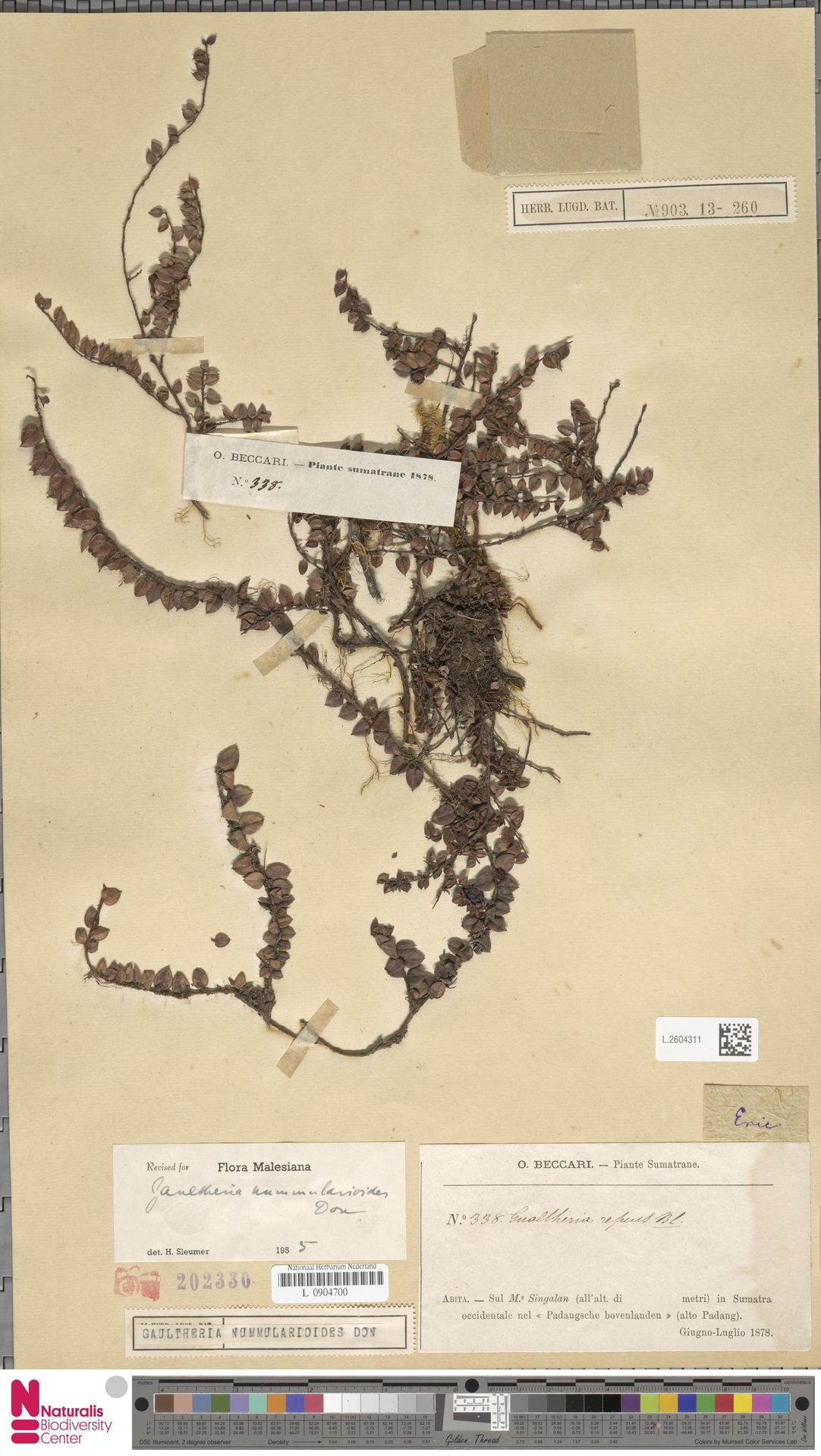 L.2604311 | Gaultheria nummularioides G.Don