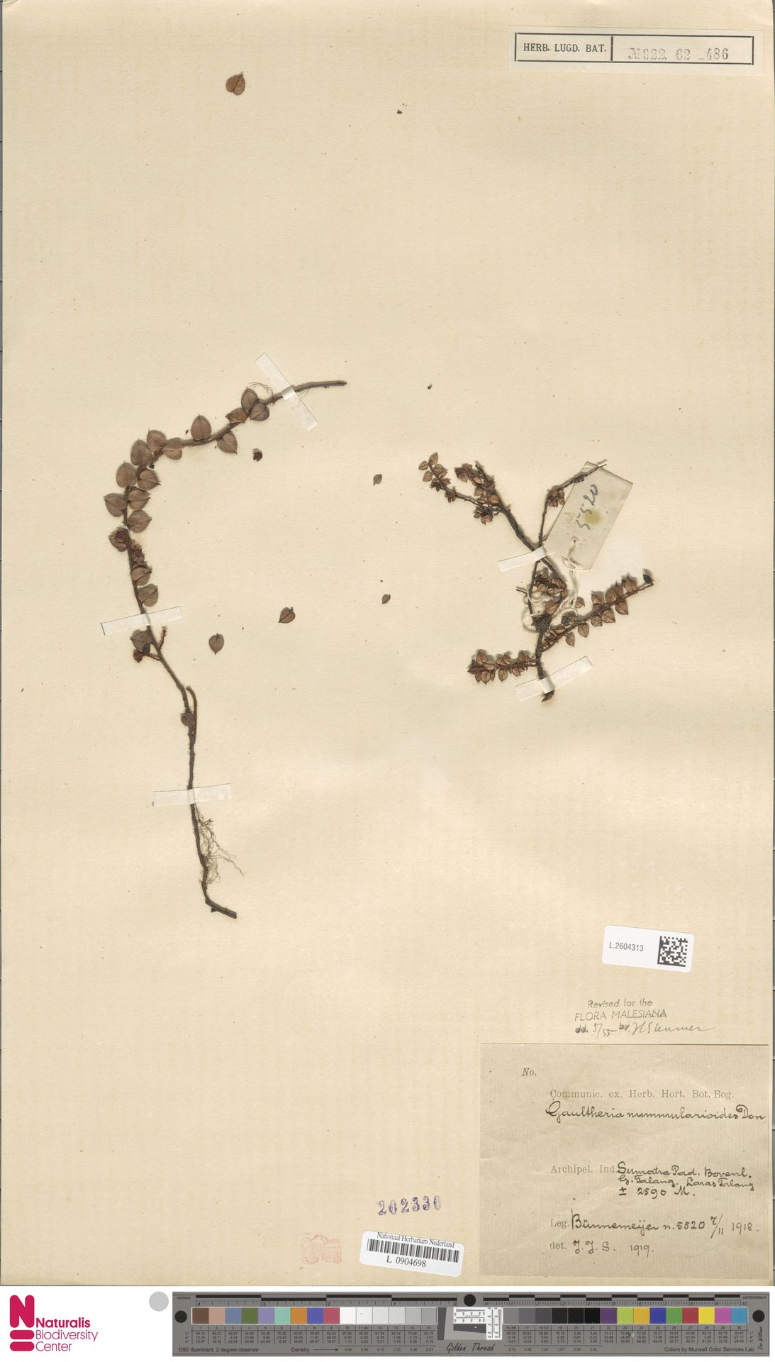 L.2604313 | Gaultheria nummularioides G.Don