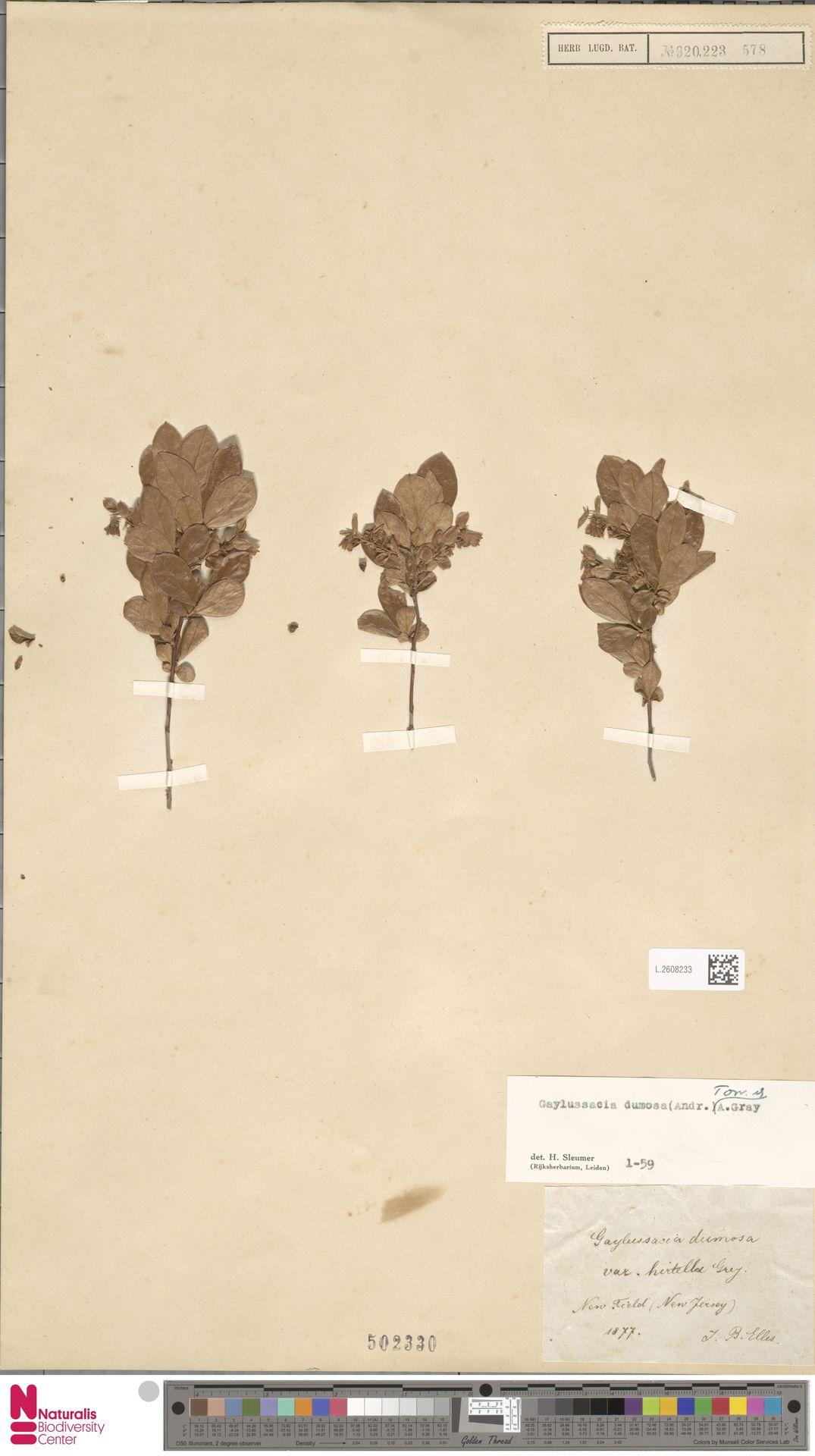 L.2608233 | Gaylussacia dumosa (Andrews) Torr. & A.Gray