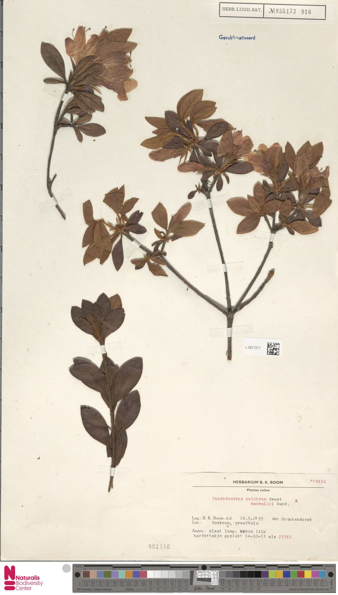 L.2617277 | Rhododendron pulchrum cv. 'Maxwellii'