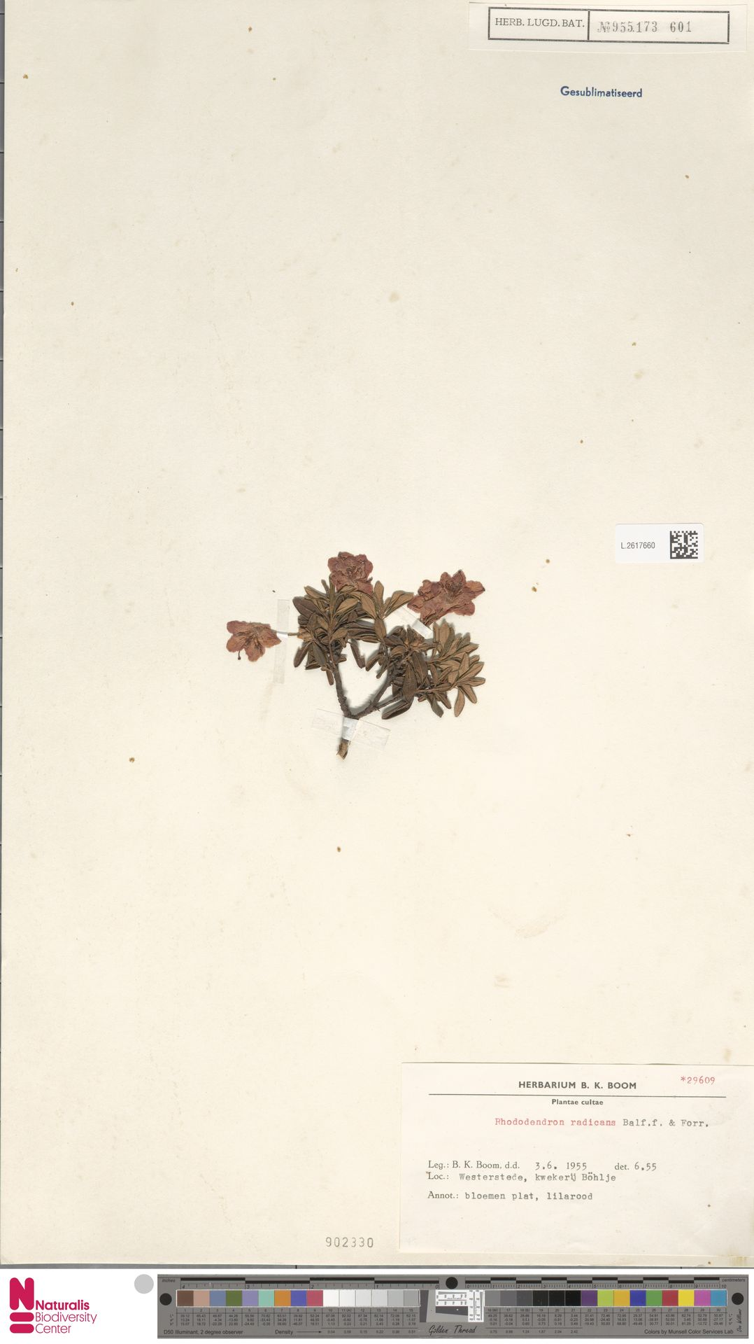 L.2617660 | Rhododendron radicans Balf.f. & Forrest
