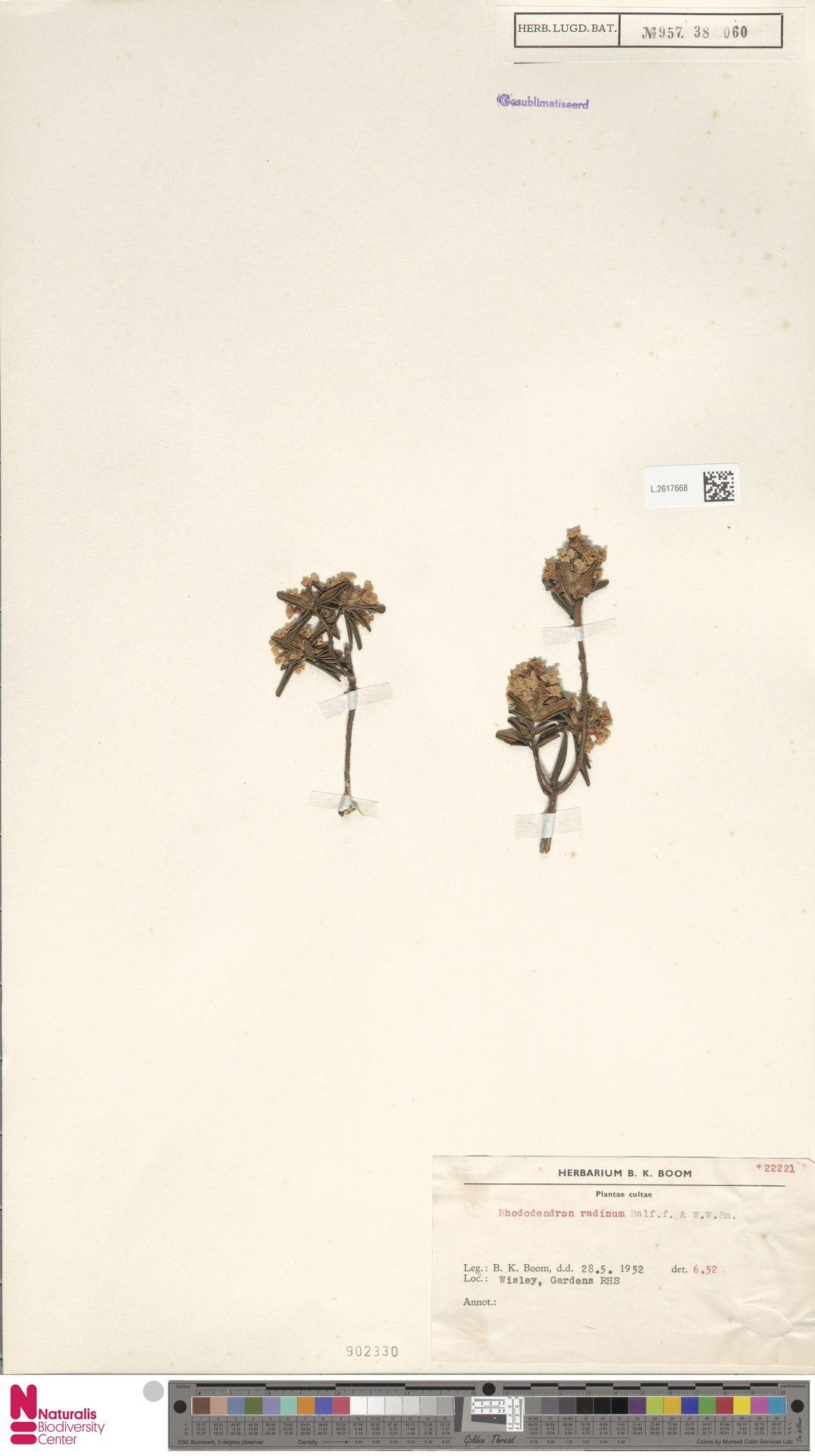 L.2617668   Rhododendron radinum Balf.f. & W.W.Sm.
