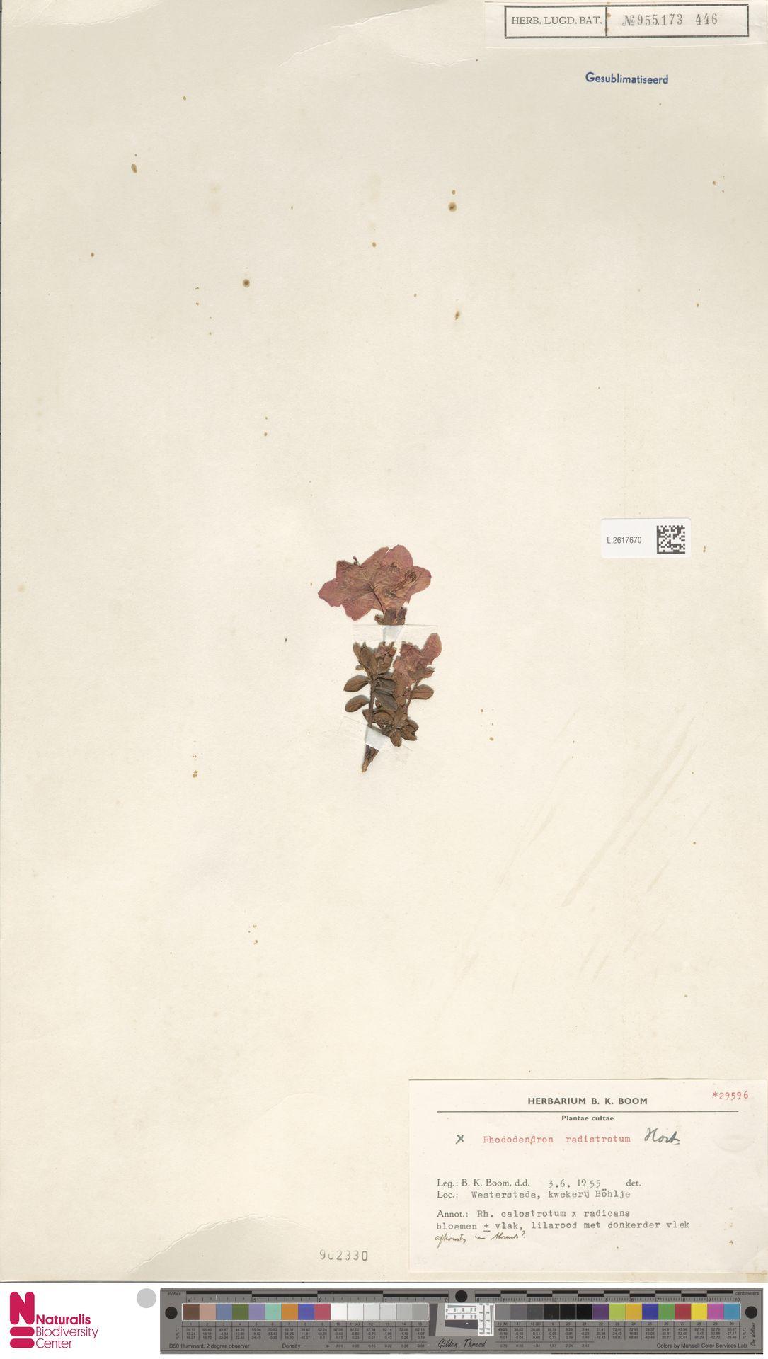 L.2617670 | Rhododendron radistrotum Hort.