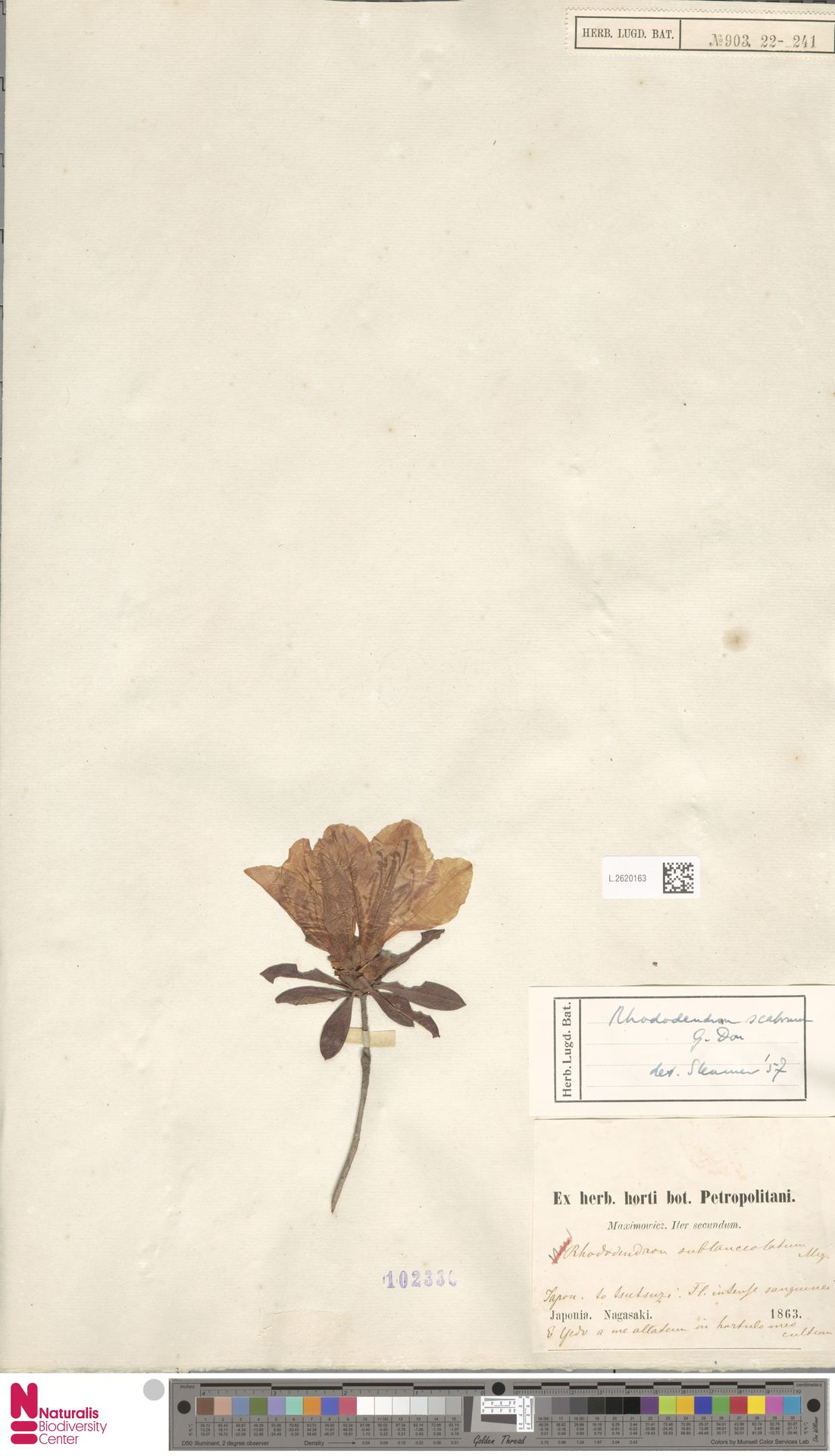 L.2620163 | Rhododendron scabrum G.Don