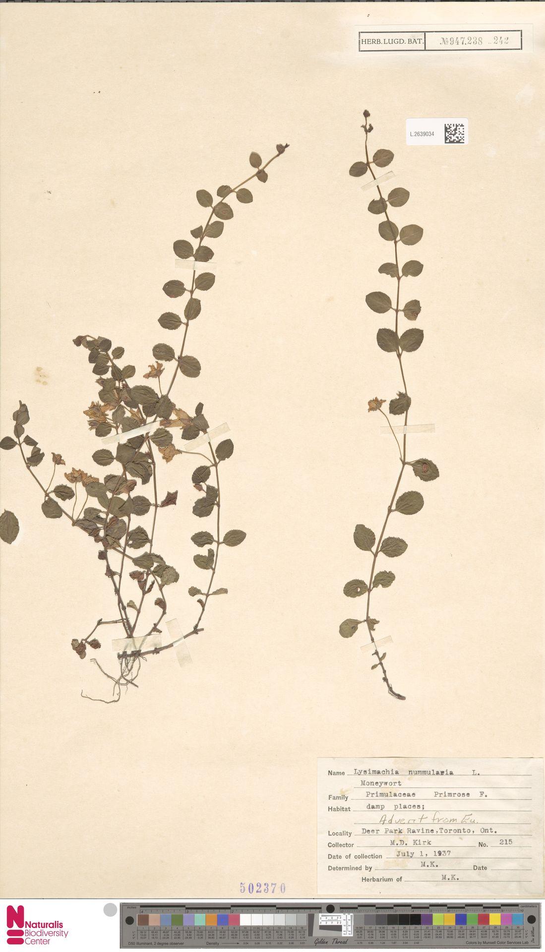 L.2639034 | Lysimachia nummularia L.