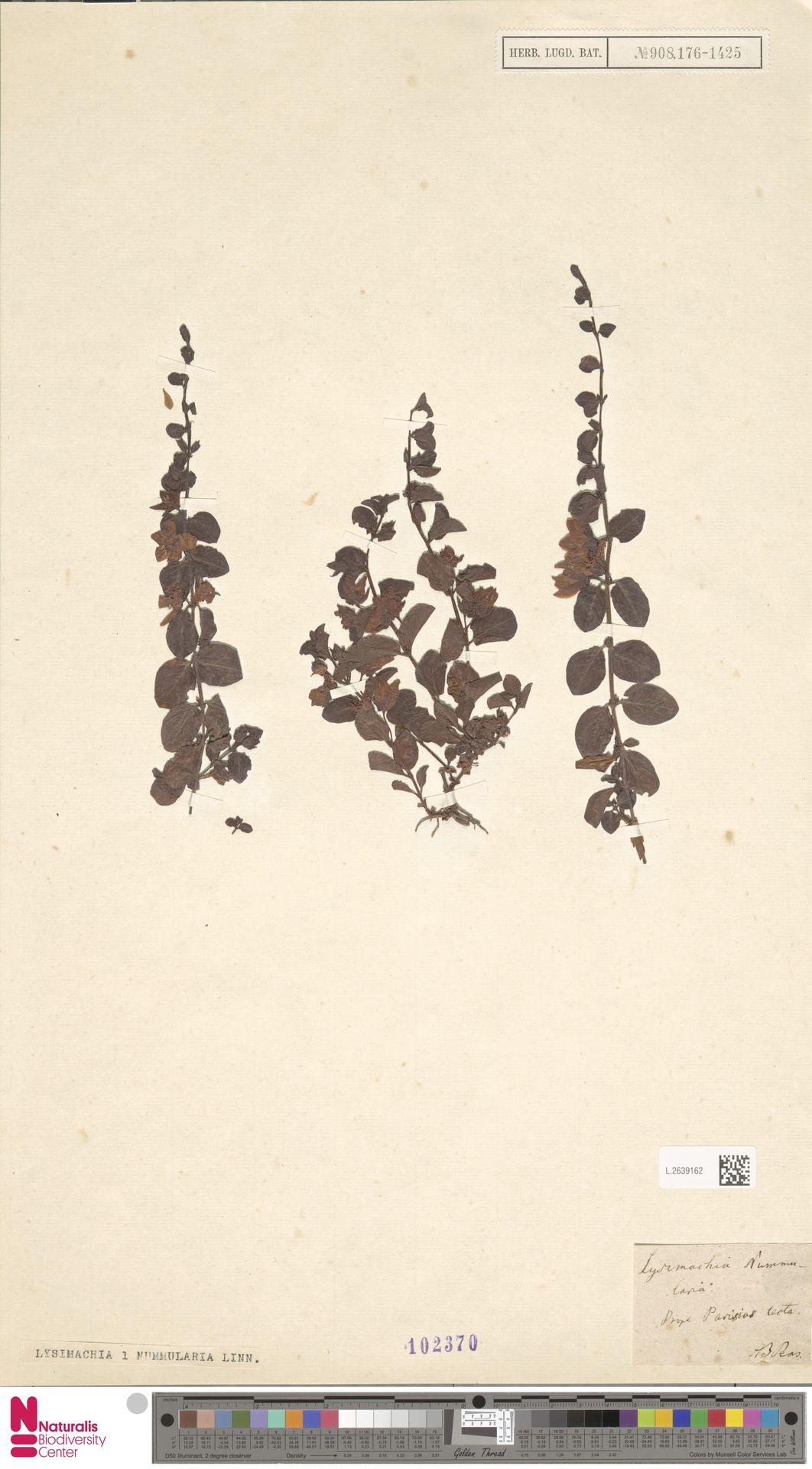 L.2639162 | Lysimachia nummularia L.