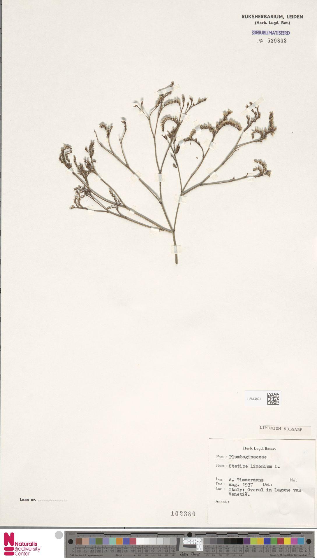 L.2644821 | Limonium vulgare Mill.