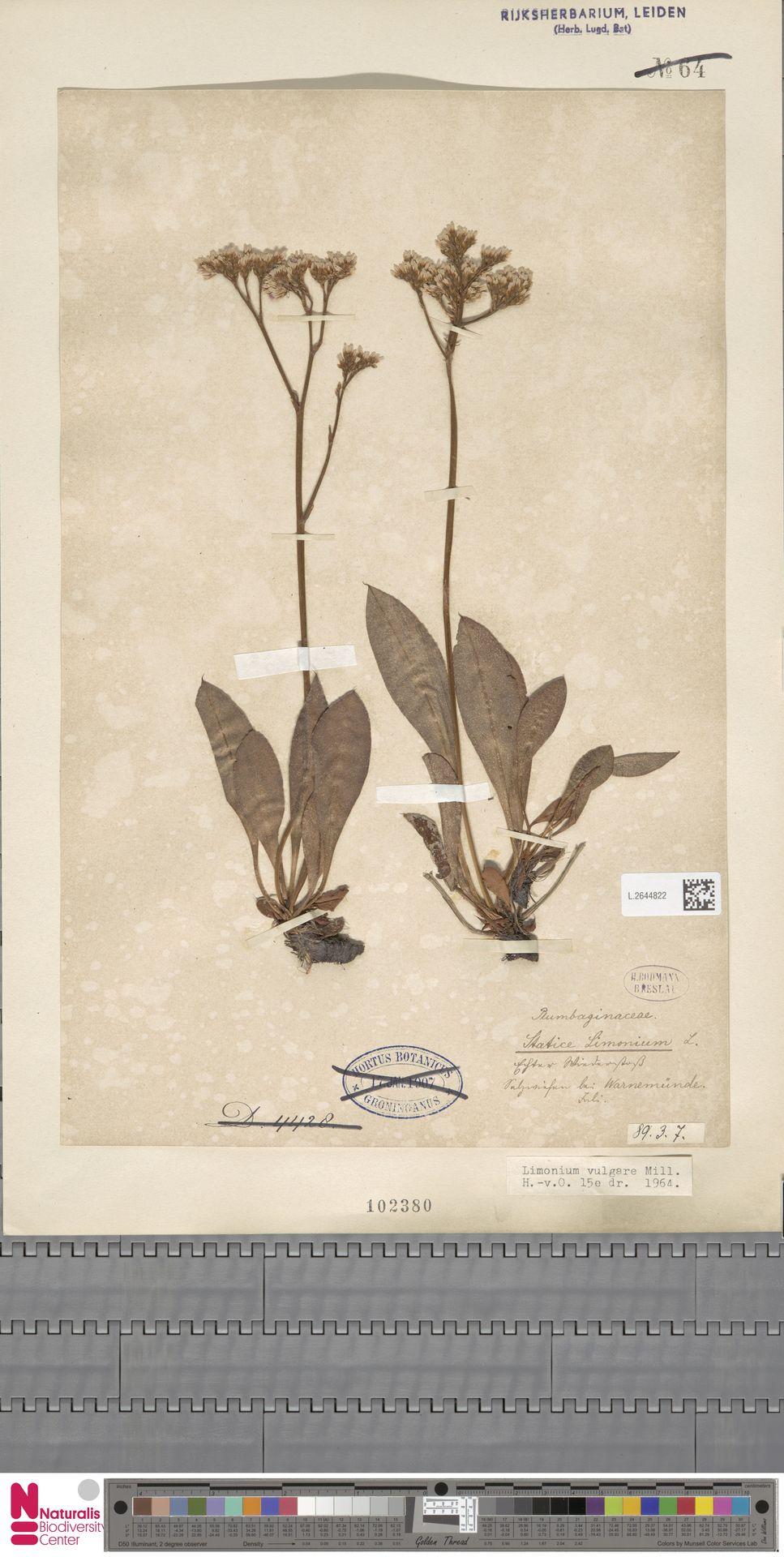 L.2644822   Limonium vulgare Mill.