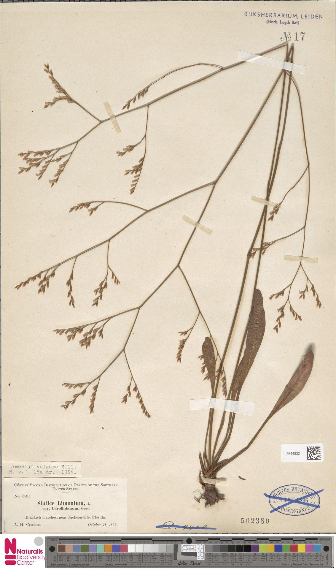 L.2644832 | Limonium vulgare Mill.