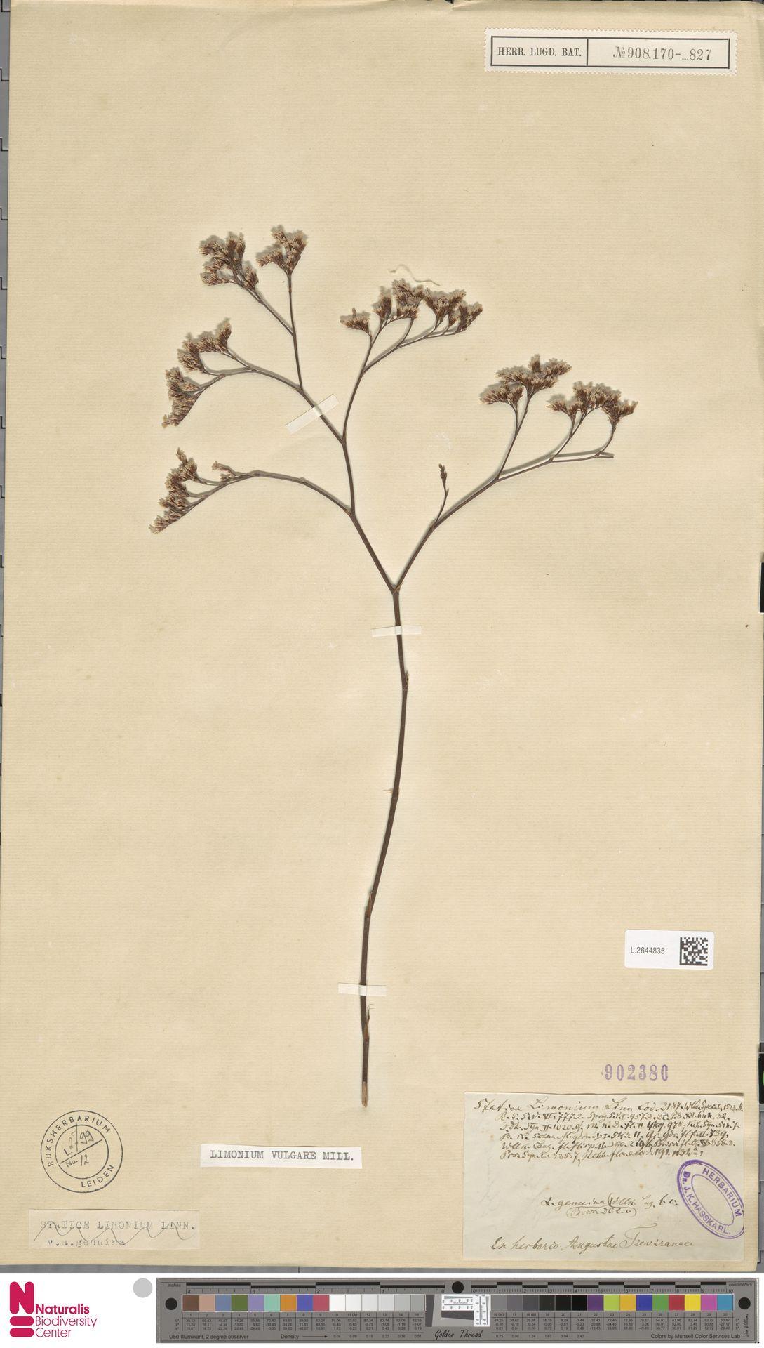 L.2644835 | Limonium vulgare Mill.