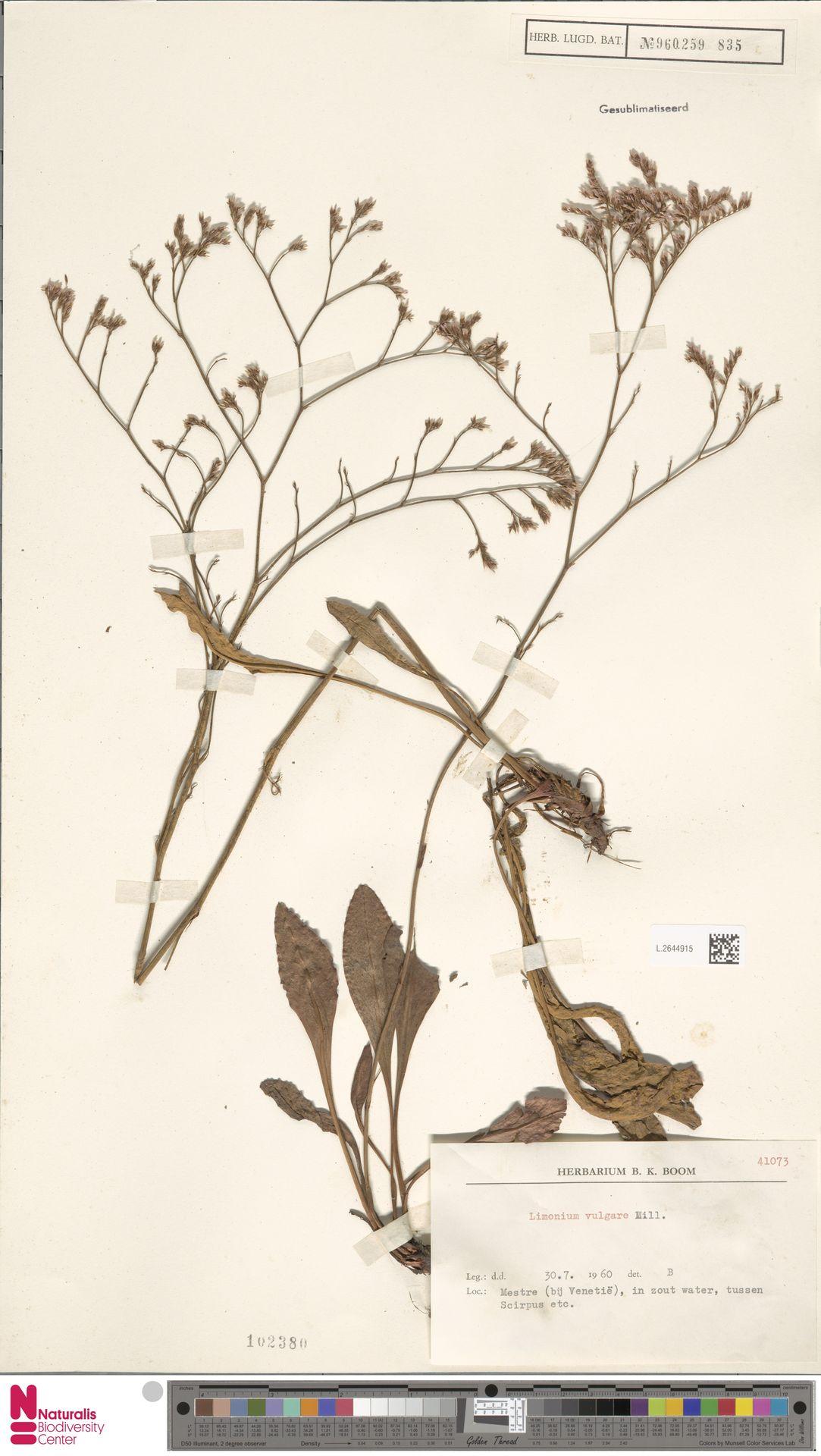 L.2644915 | Limonium vulgare Mill.
