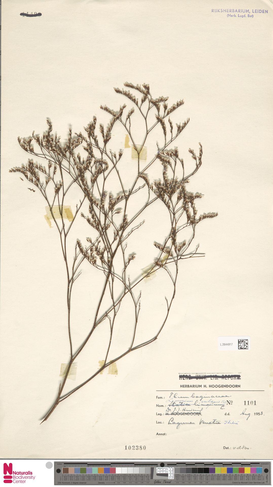 L.2644917 | Limonium vulgare Mill.