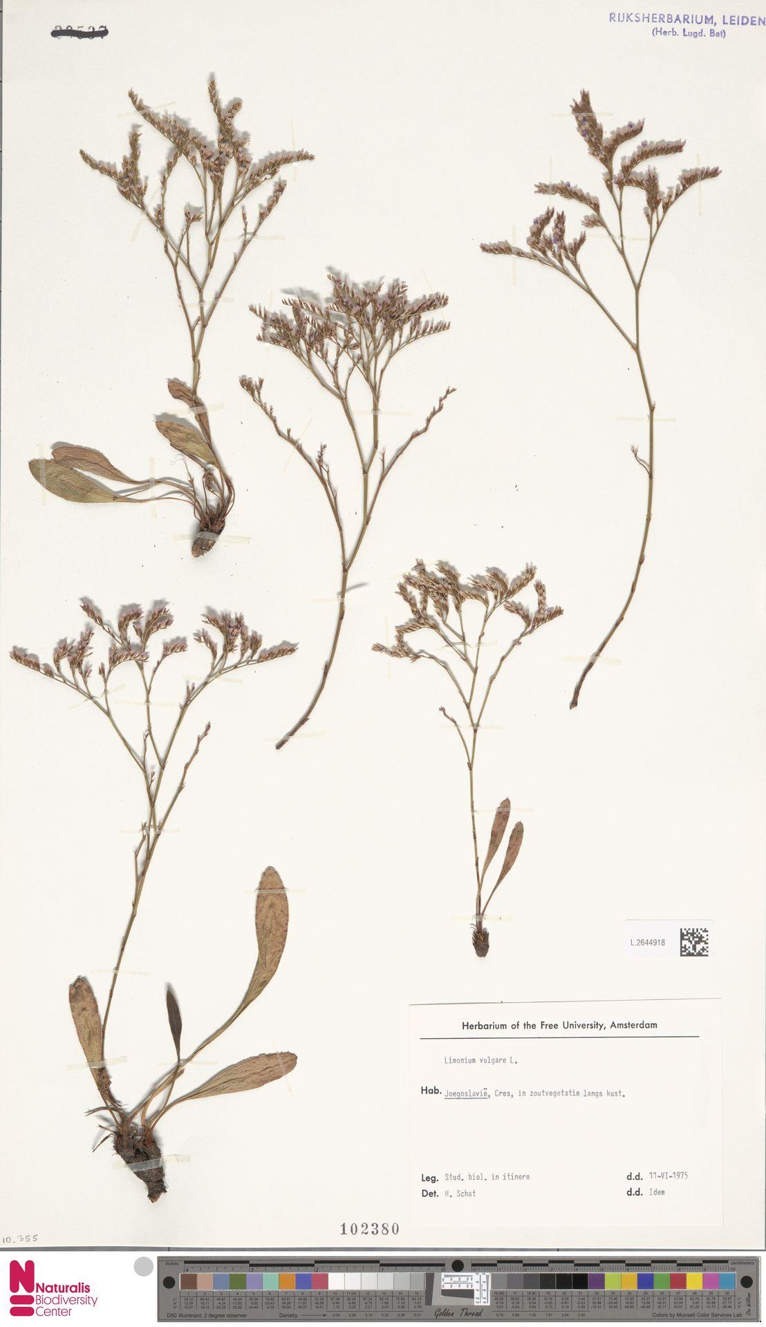 L.2644918 | Limonium vulgare Mill.