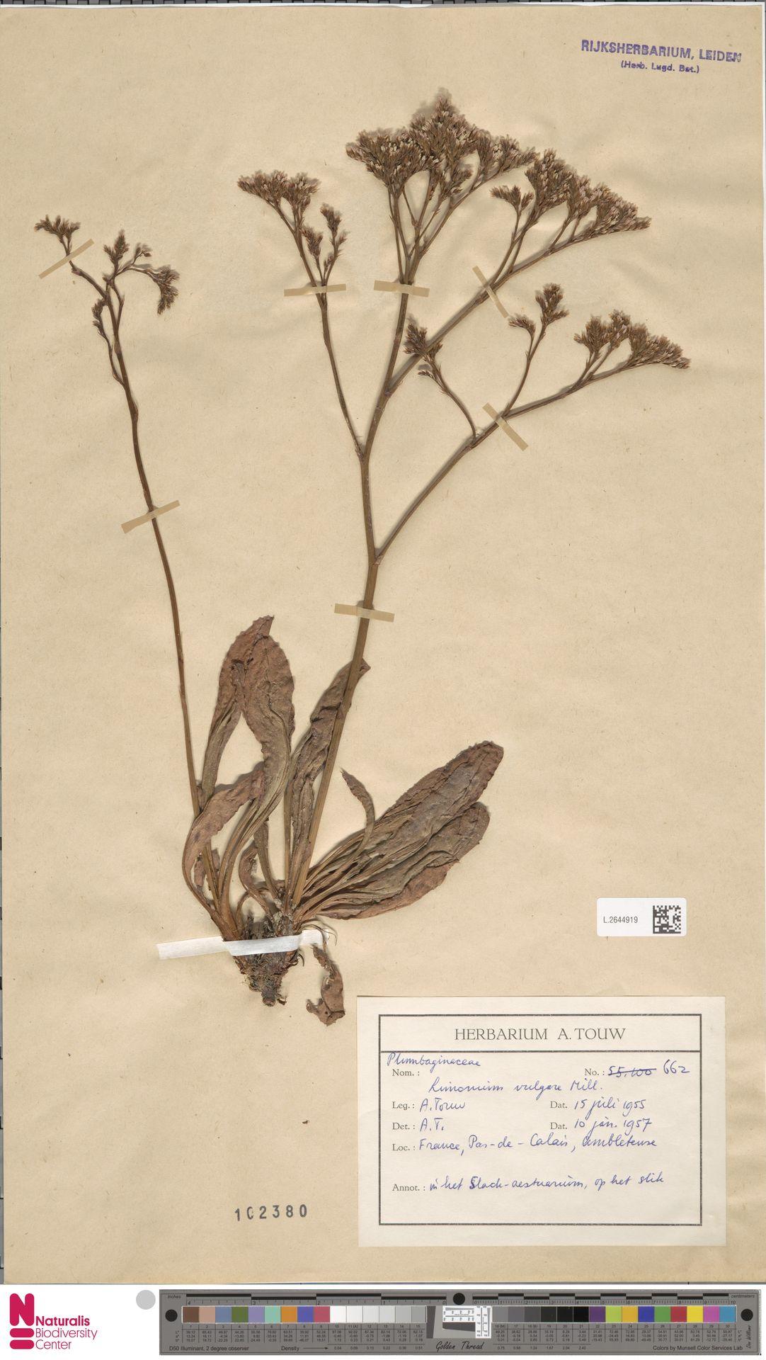 L.2644919 | Limonium vulgare Mill.