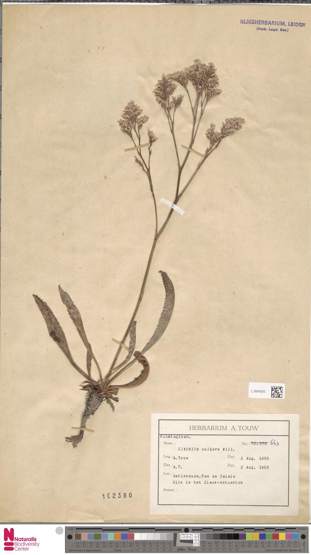 L.2644920 | Limonium vulgare Mill.