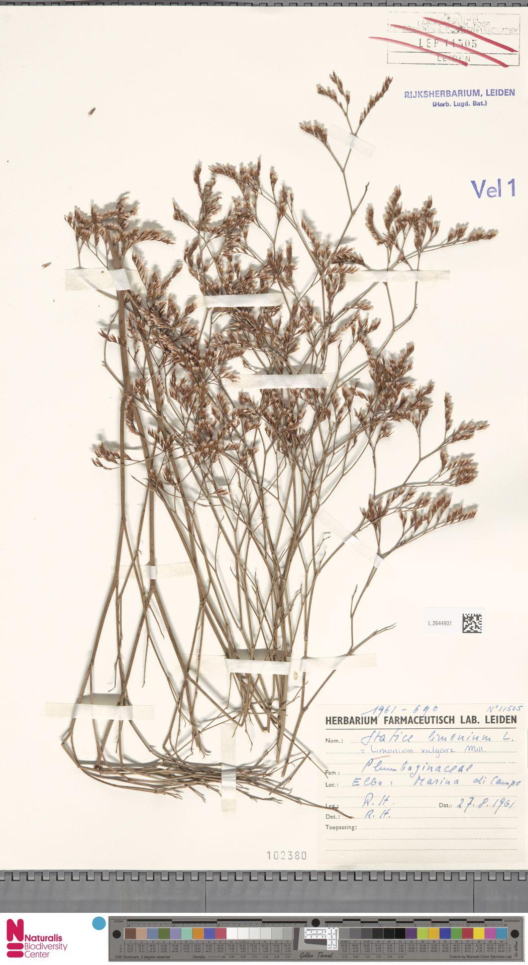 L.2644931 | Limonium vulgare Mill.