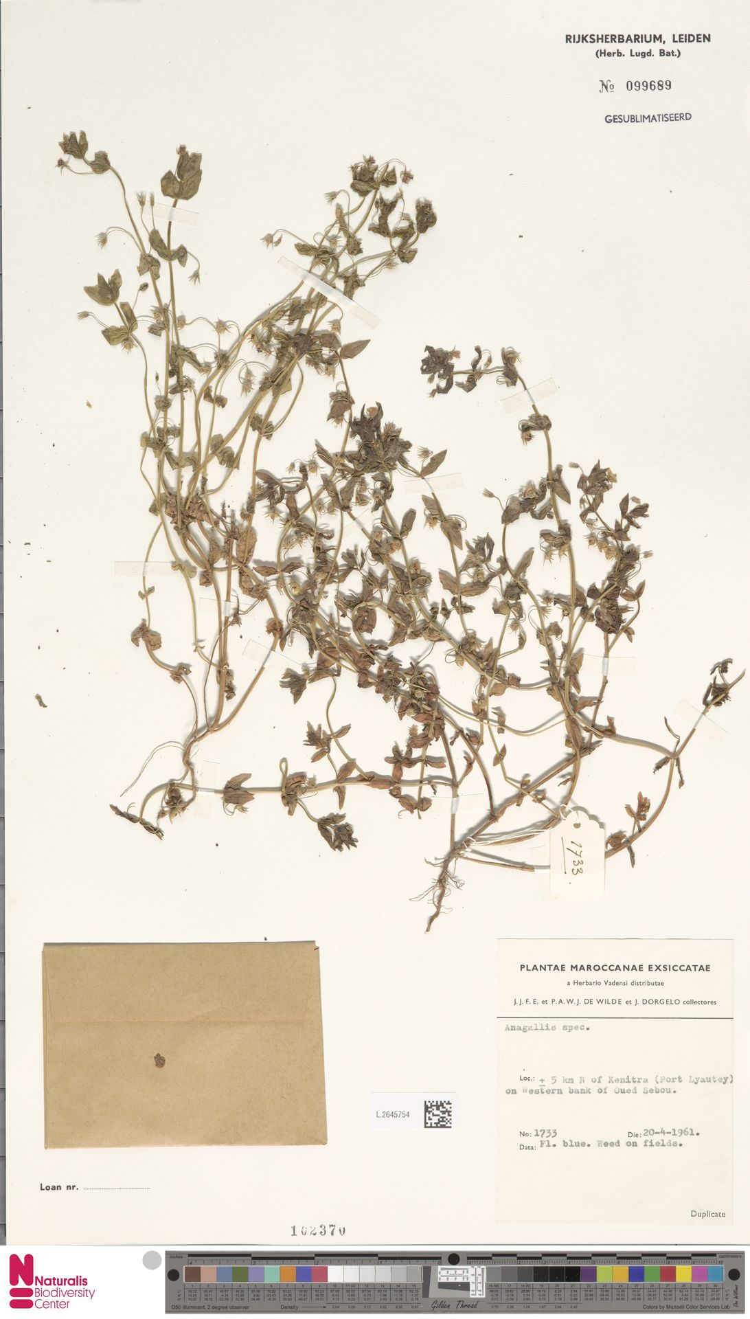 L.2645754   Anagallis arvensis L.