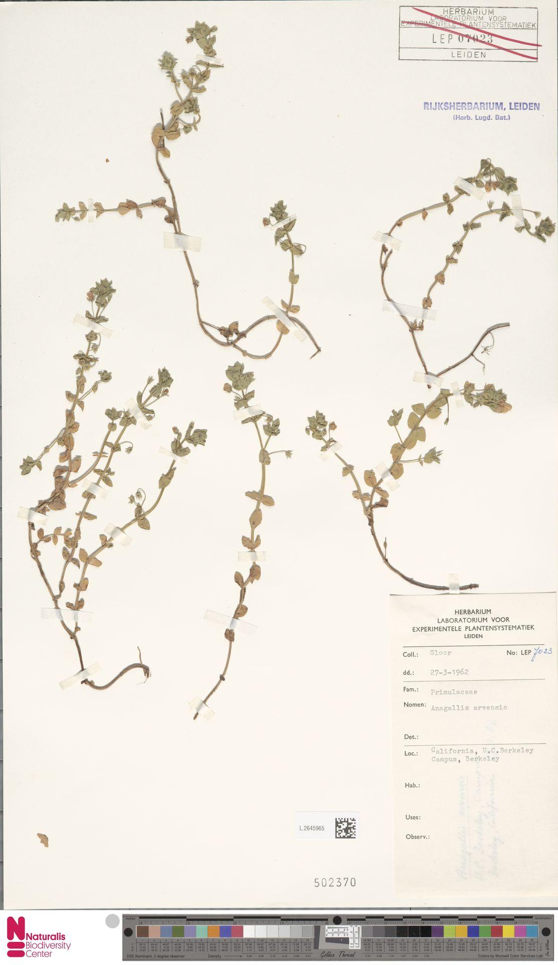 L.2645965 | Anagallis arvensis L.