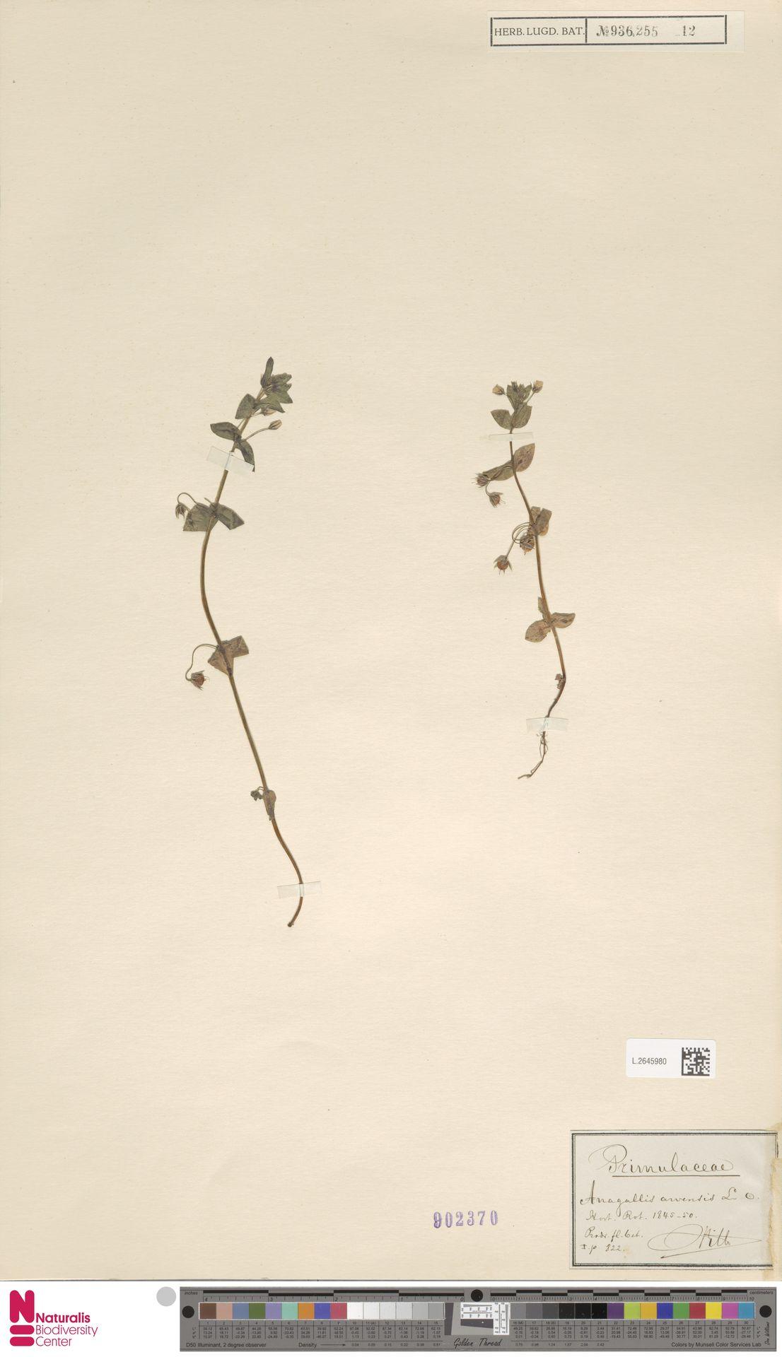 L.2645980 | Anagallis arvensis L.