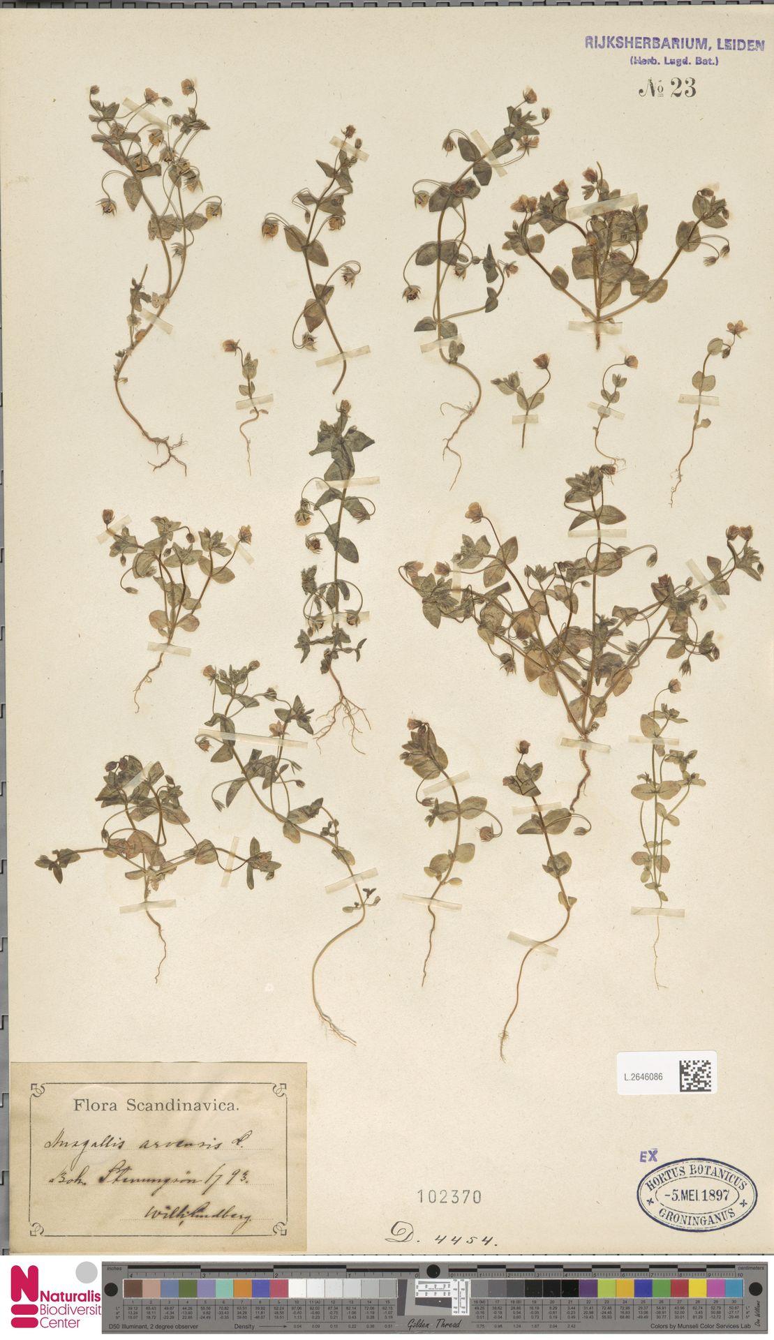 L.2646086 | Anagallis arvensis L.