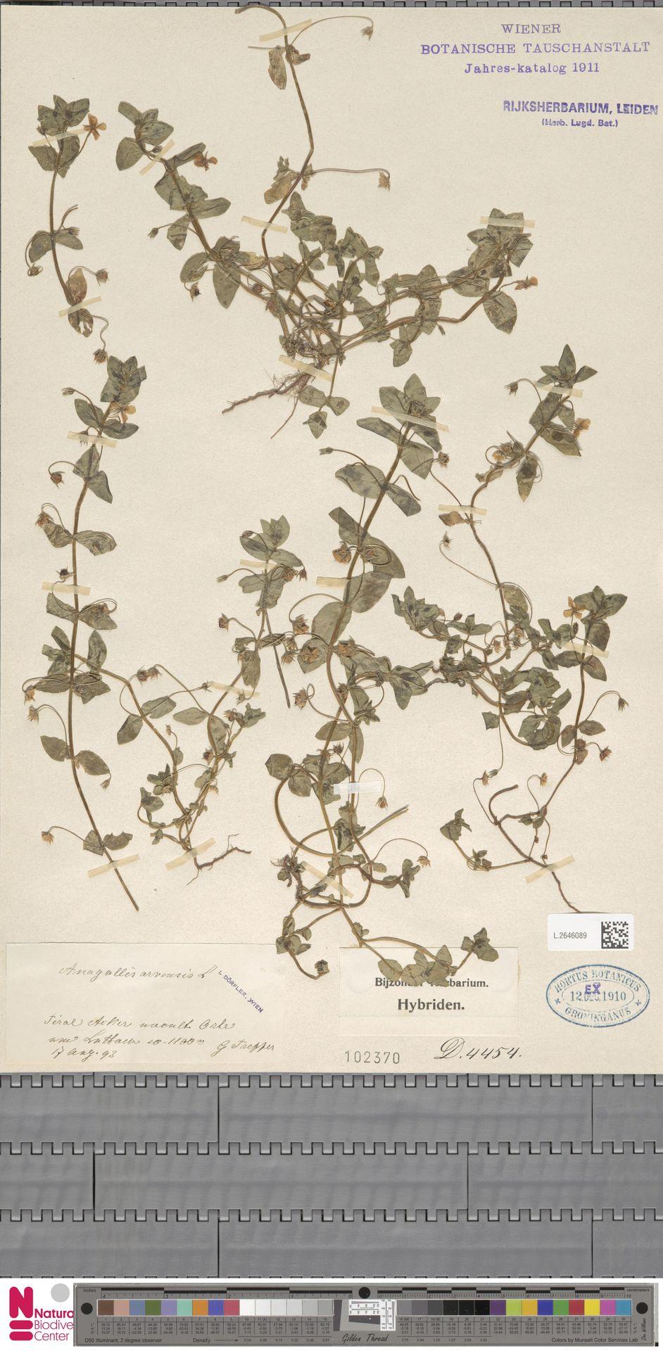 L.2646089   Anagallis arvensis L.