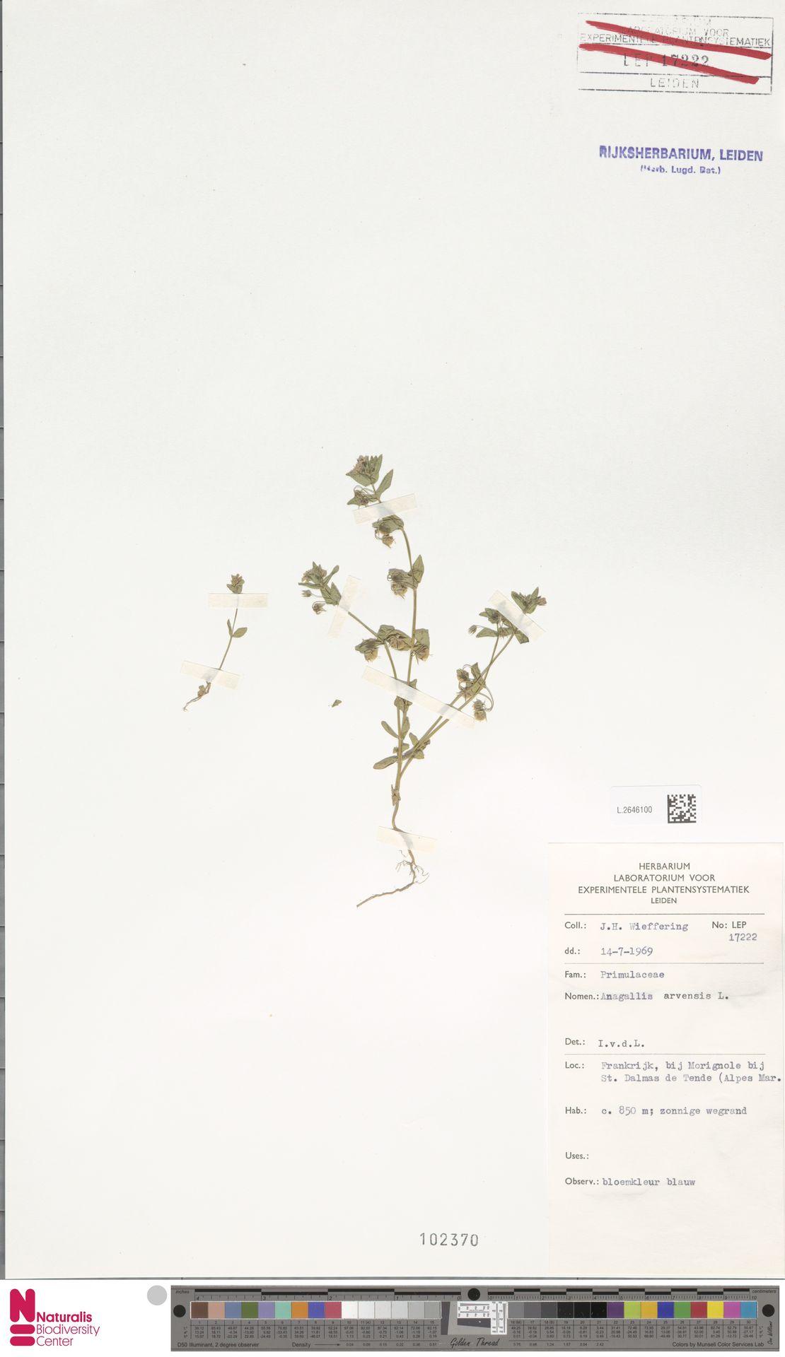 L.2646100 | Anagallis arvensis L.