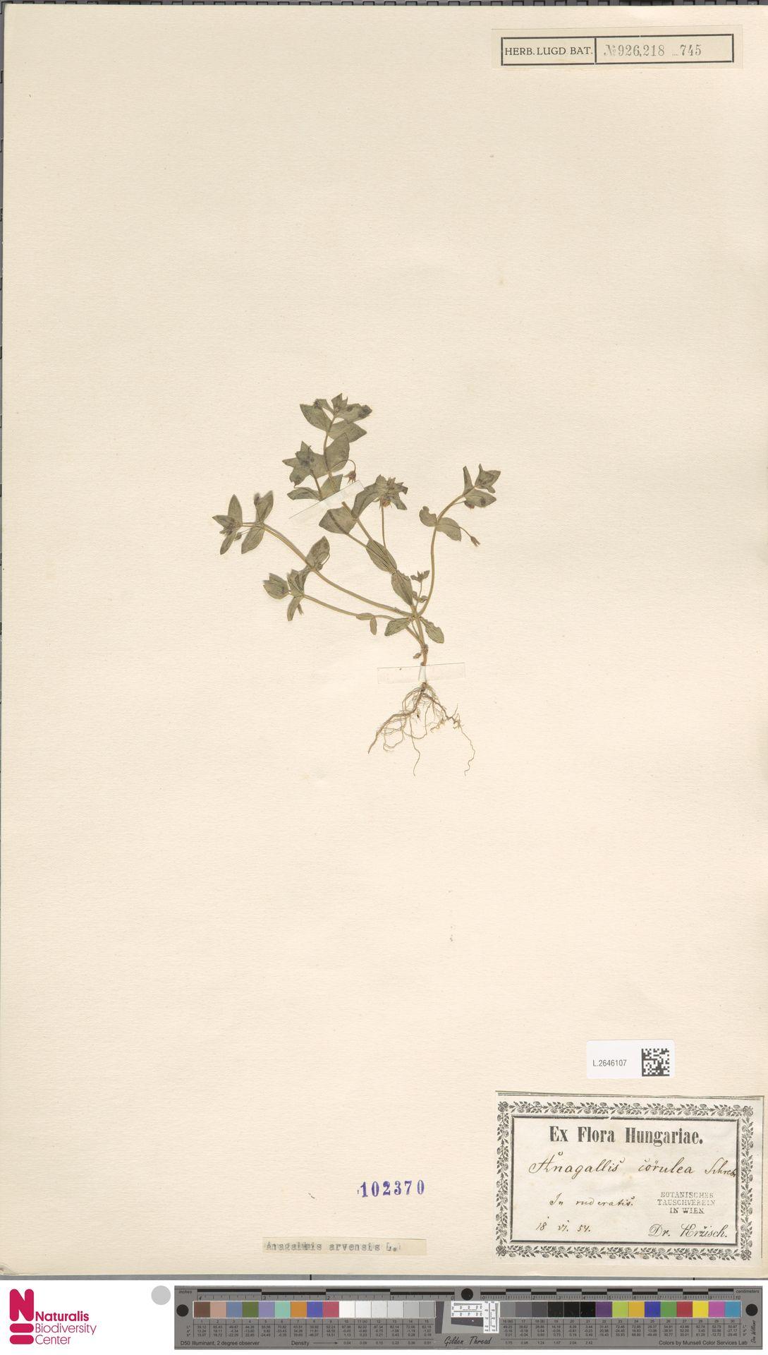 L.2646107 | Anagallis arvensis L.