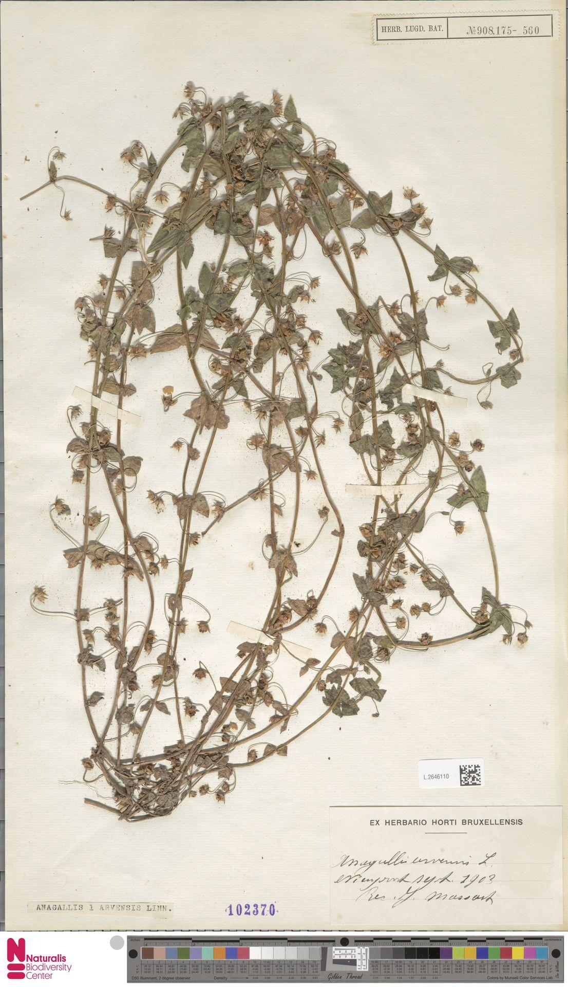 L.2646110   Anagallis arvensis L.