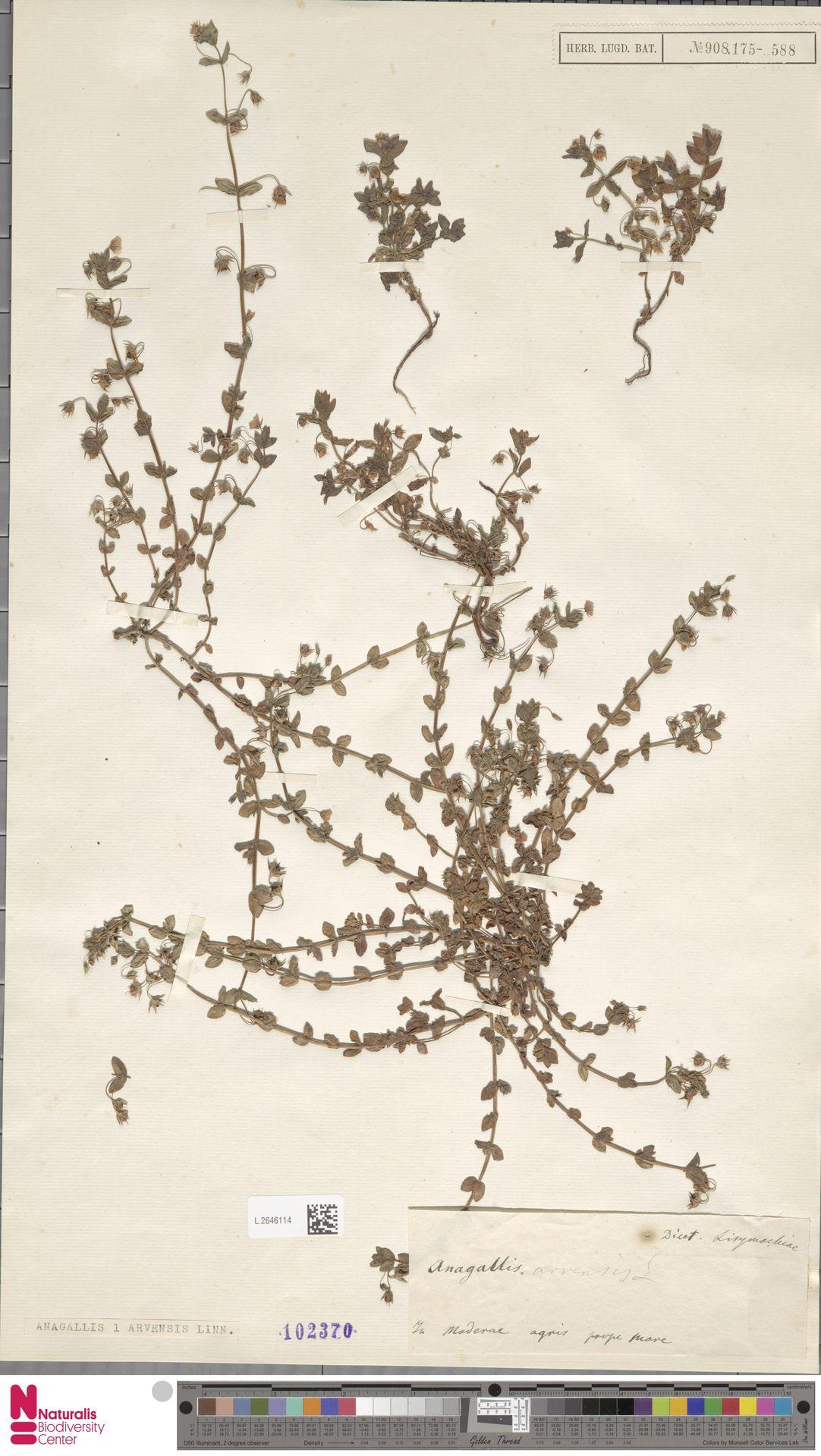 L.2646114 | Anagallis arvensis L.