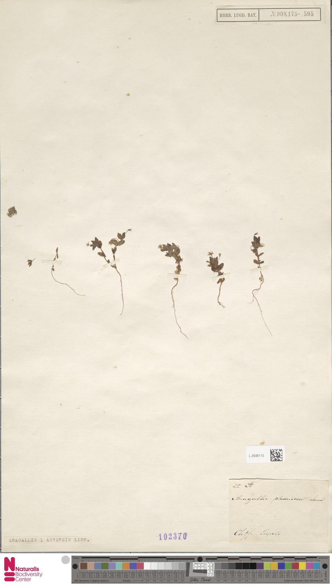 L.2646115 | Anagallis arvensis L.