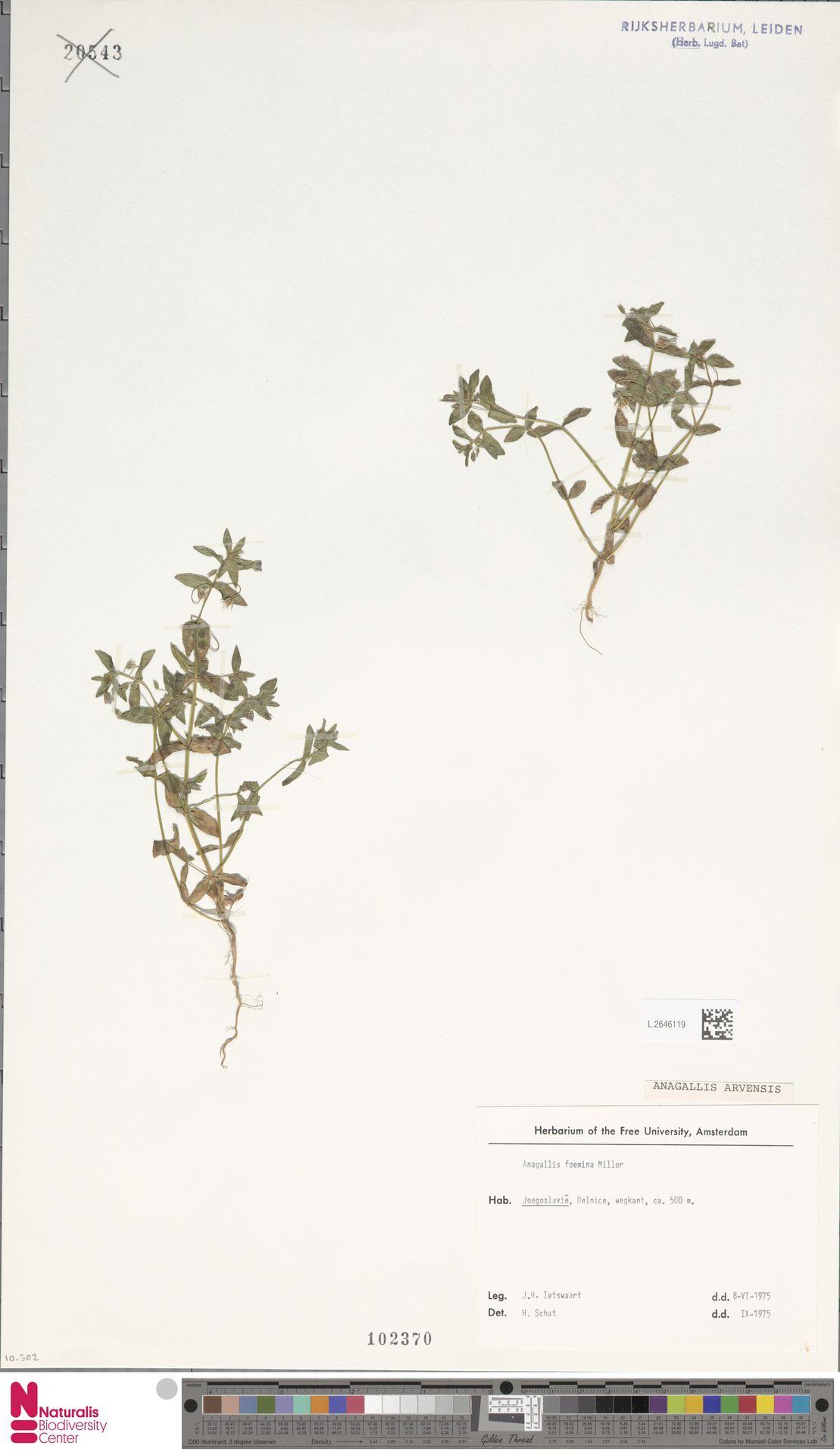 L.2646119 | Anagallis arvensis L.