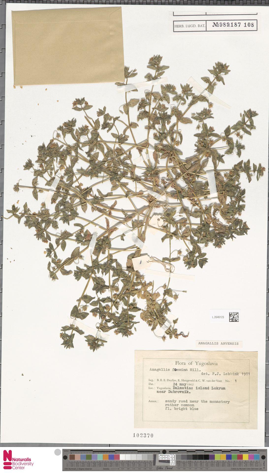 L.2646123 | Anagallis arvensis L.