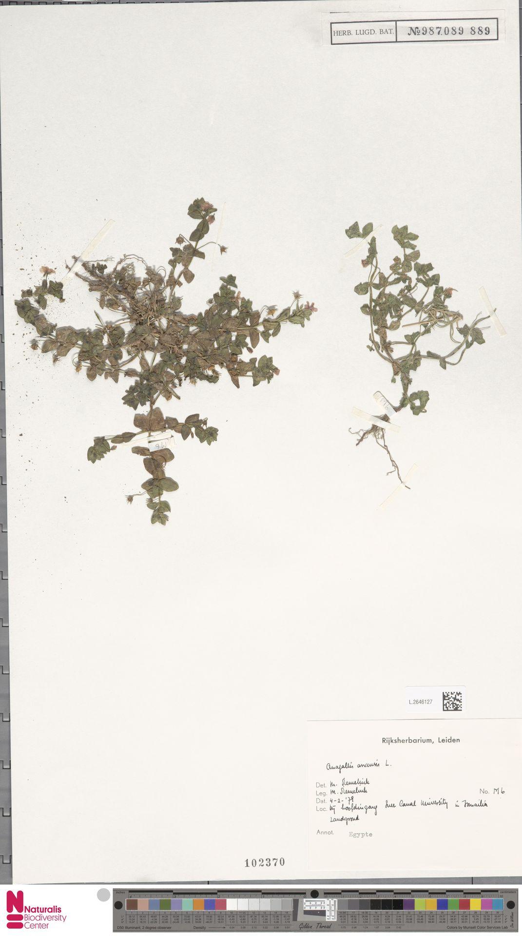 L.2646127 | Anagallis arvensis L.