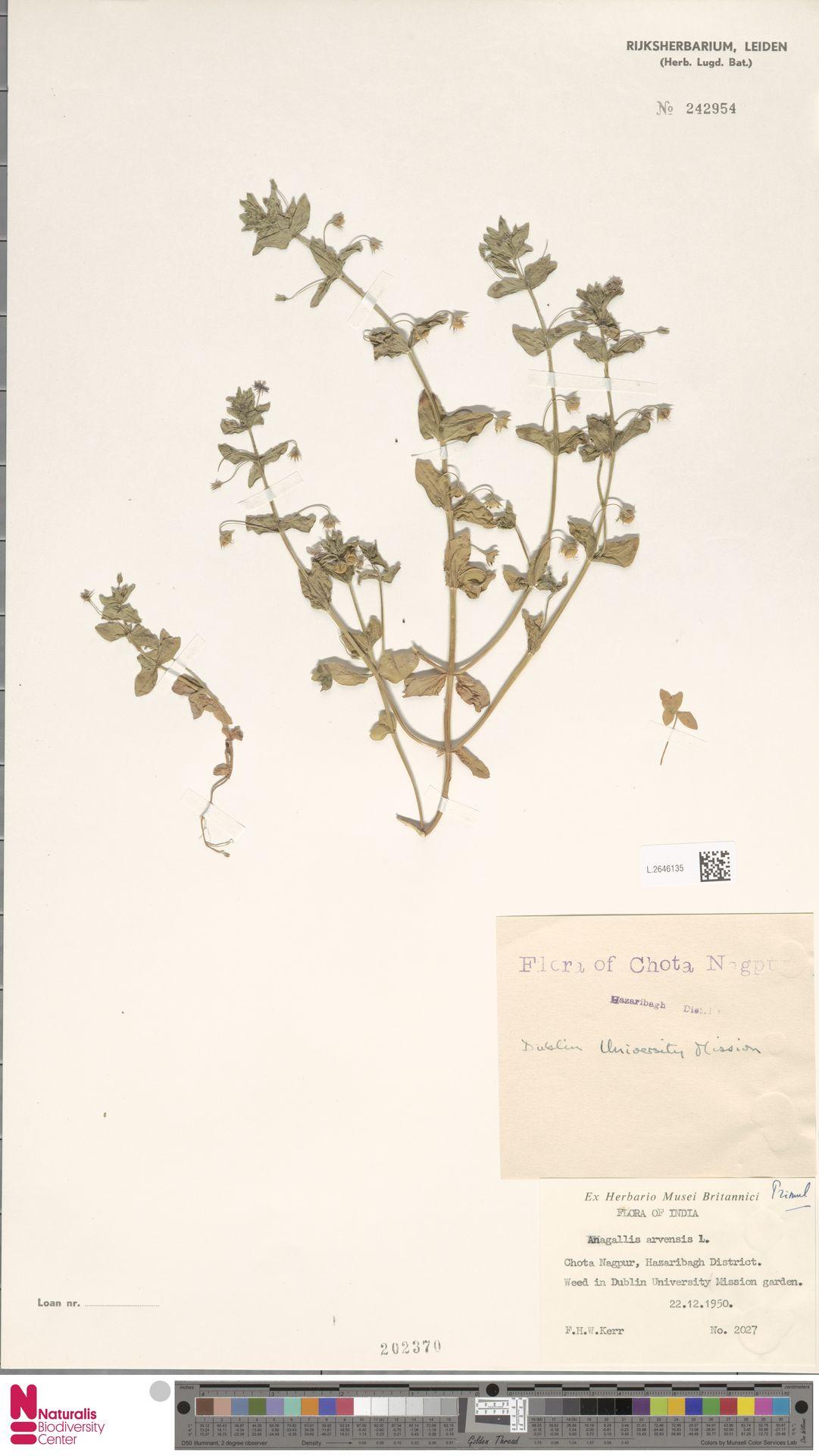 L.2646135 | Anagallis arvensis L.