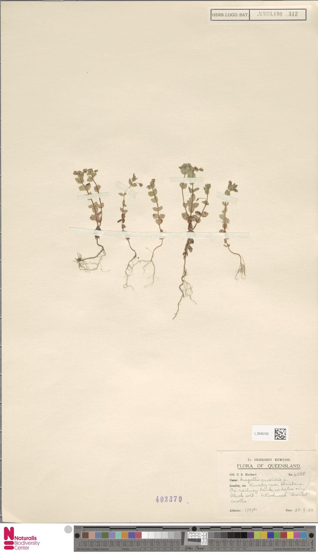 L.2646165 | Anagallis arvensis L.