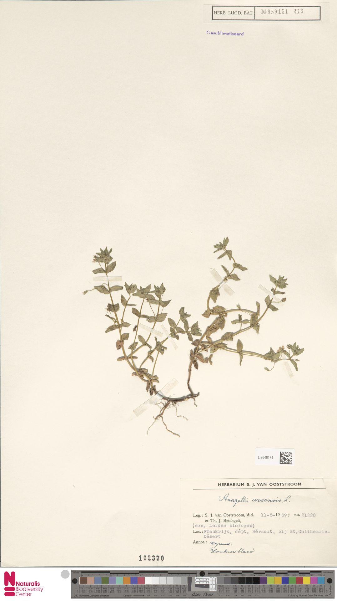 L.2646174 | Anagallis arvensis L.