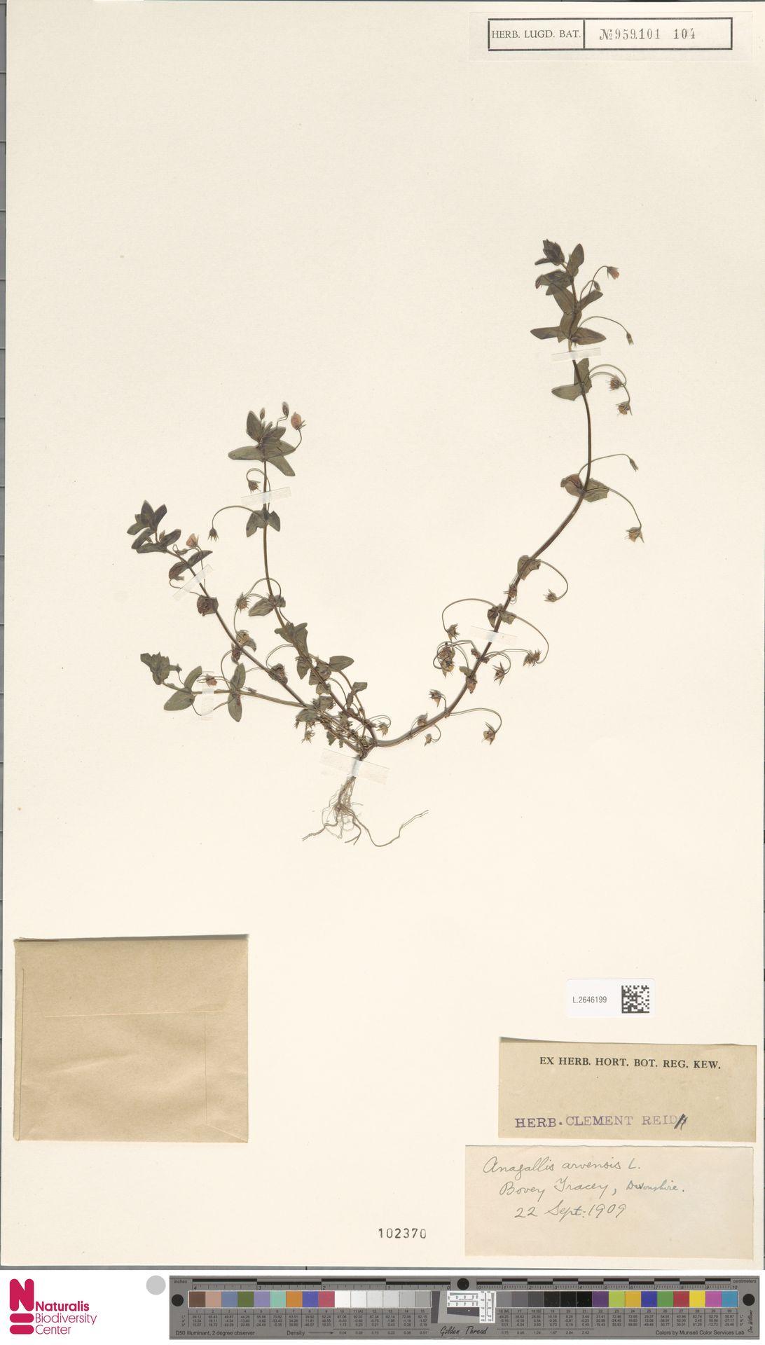 L.2646199   Anagallis arvensis L.