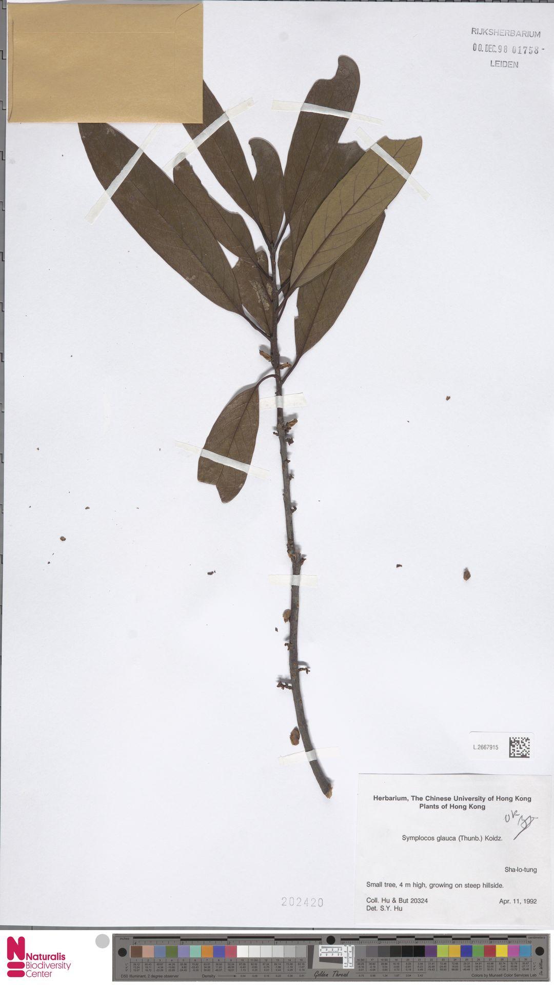 L.2667915 | Symplocos glauca (Thunb.) Koidz.