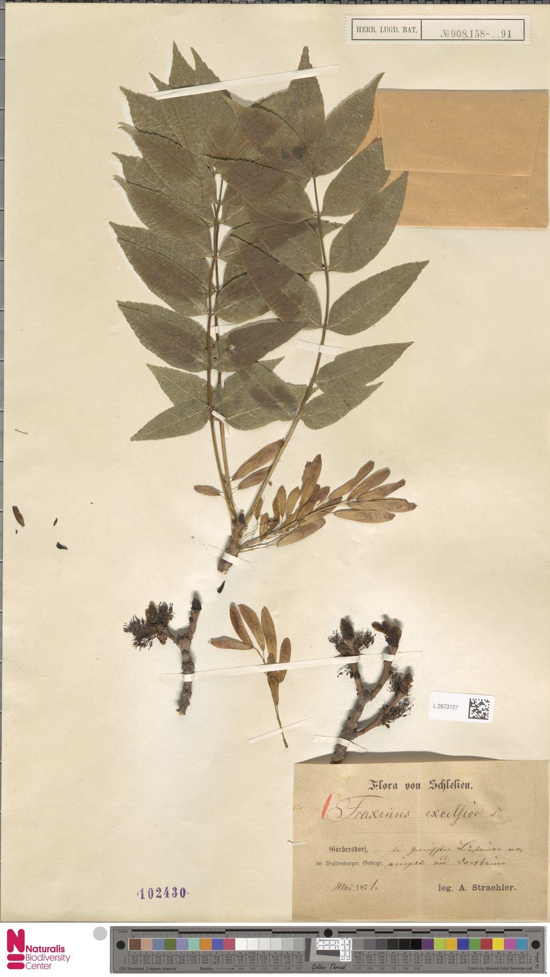 L.2673127 | Fraxinus excelsior L.
