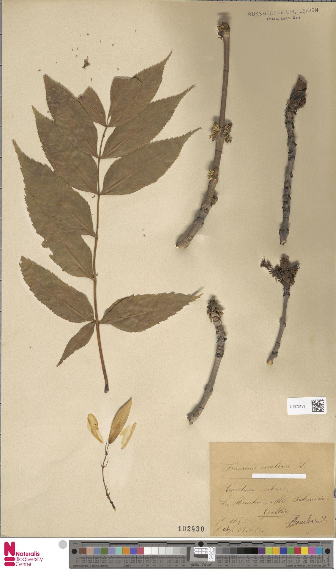 L.2673139 | Fraxinus excelsior L.