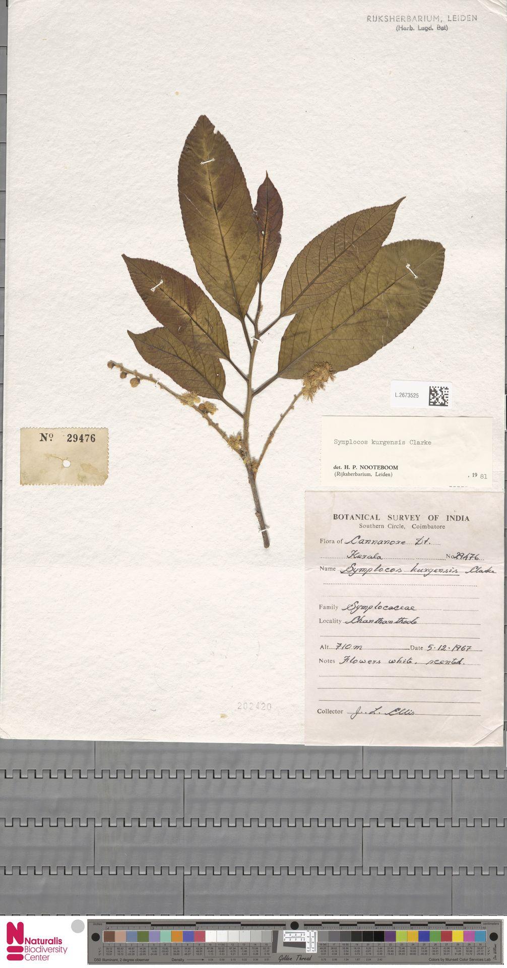 L.2673525 | Symplocos kurgensis C.B.Clarke