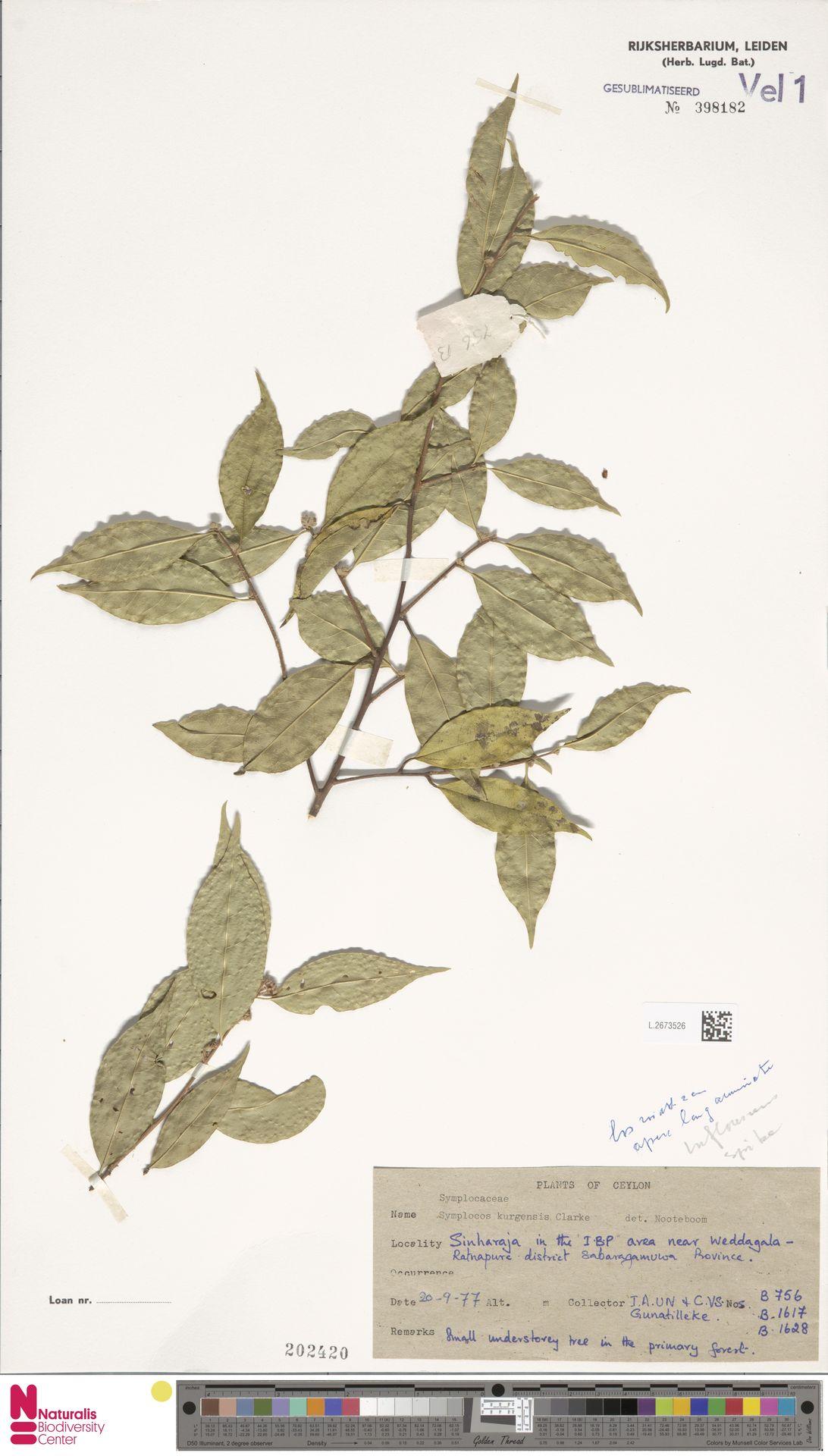 L.2673526 | Symplocos kurgensis C.B.Clarke